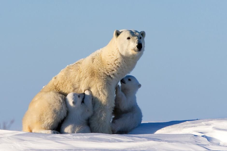 When the Siberian winter ends the first polar bear mothers (with their young) appear from their... [Photo of the day - February 2012]
