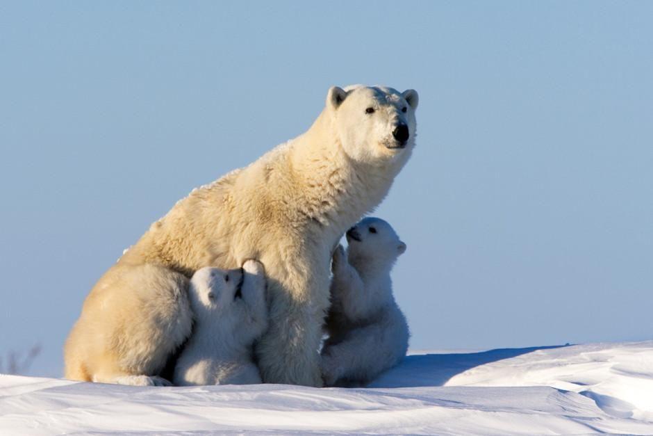 با پایان یافتن زمستان در سیبری، اولین خرس های قطبی... [Photo of the day - فوریه 2012]