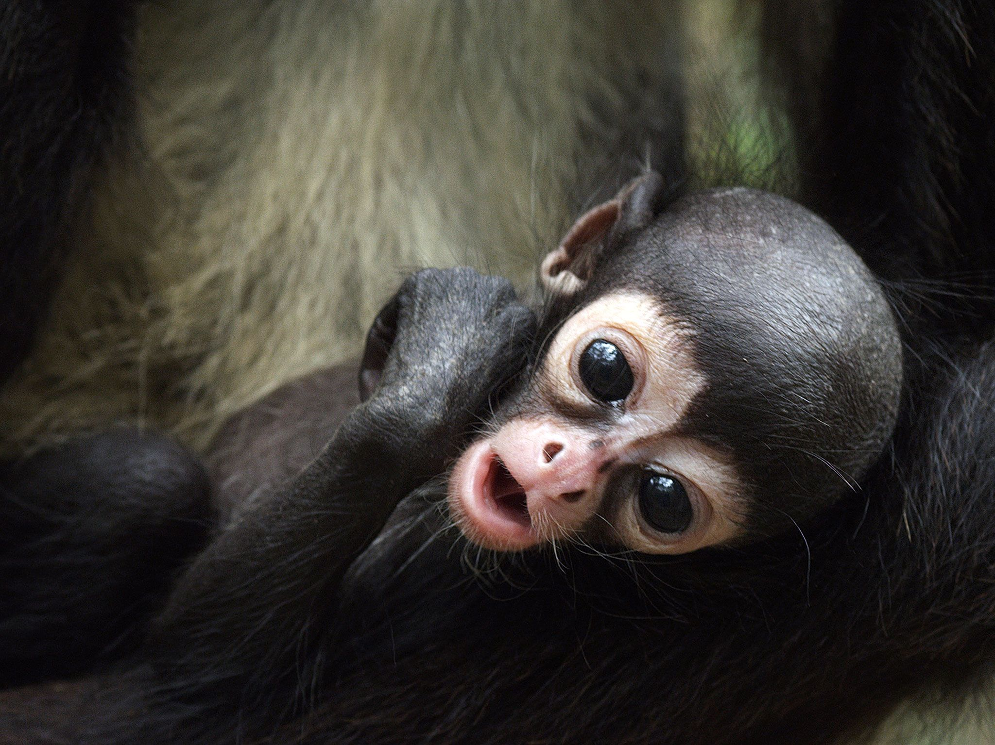 Baby monkey. This image is from Return of the Spider Monkeys. [Photo of the day - May 2017]