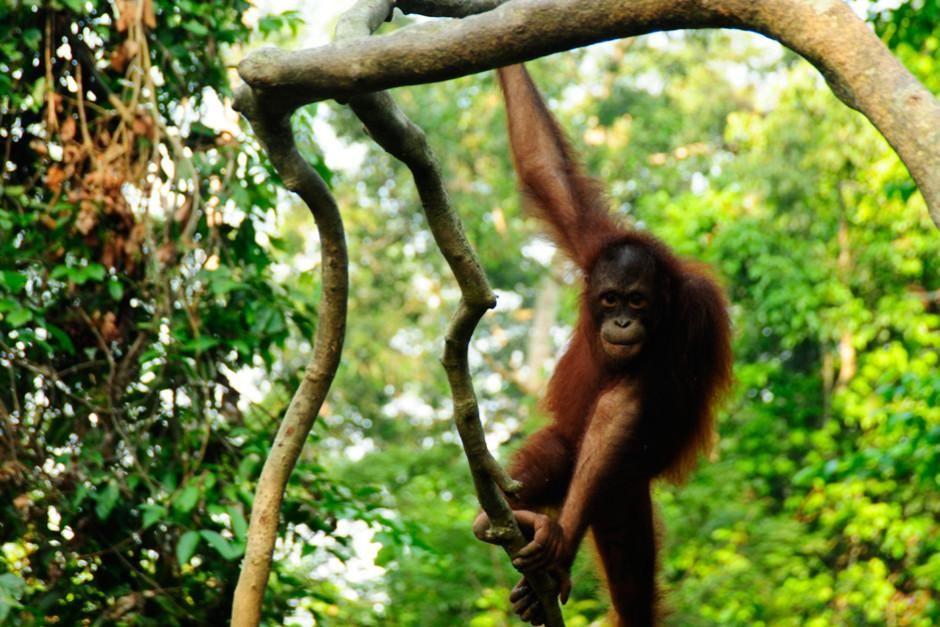 إنسان الغابة بجزيرة بورنيو نوع القردة الوحيد وأضخم... [Photo of the day - فبراير 2012]