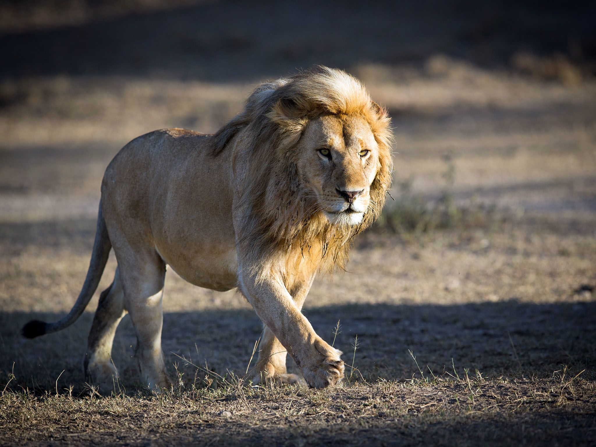 Serengeti, Tanzania: Male Lion patrolling territory in Ndutu. This image is from Survive the Wild. [Photo of the day - May 2017]