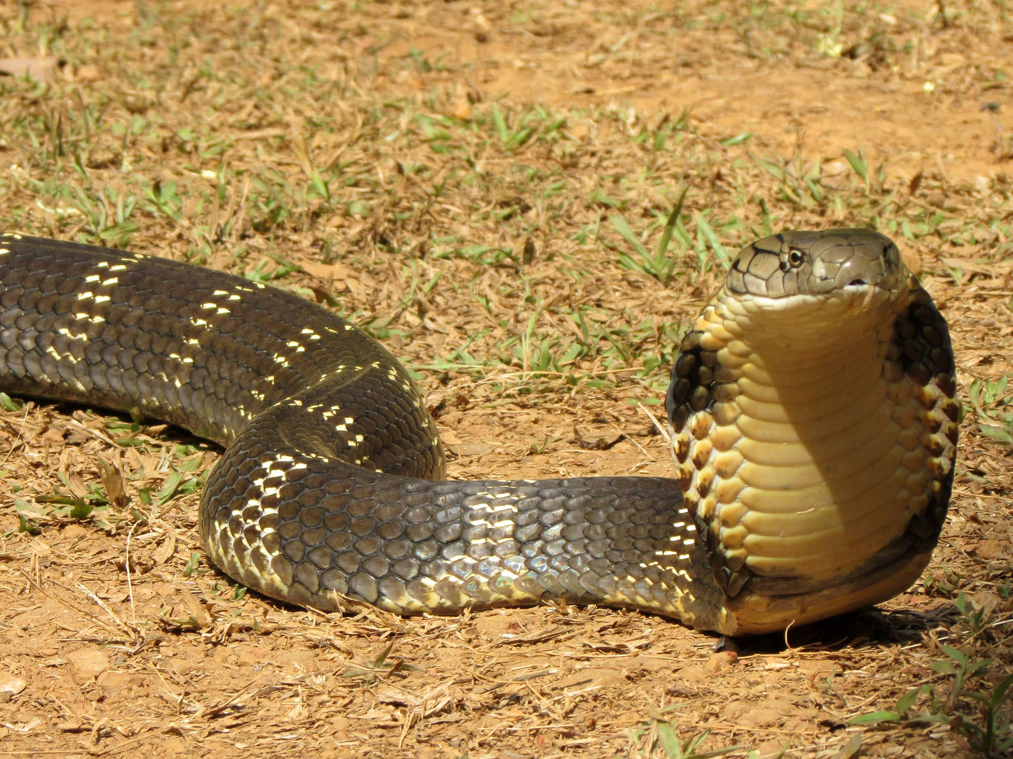 India: King cobra (Ophiophagus hannah) slithering on dry grass, raised head. This image is from... [Photo of the day - June 2017]