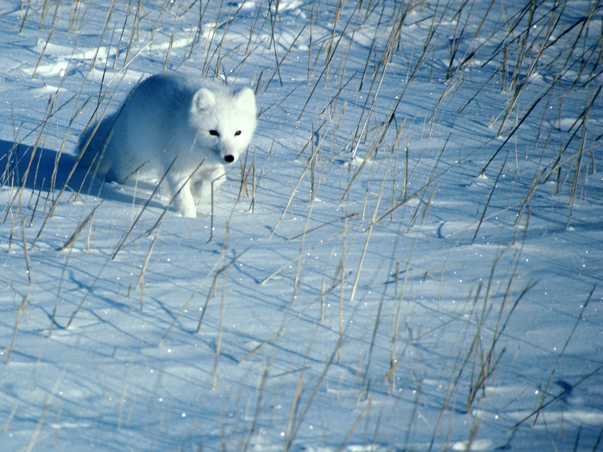 A polar fox runs across the snow. This image is from Planet Carnivore: Perfect Killers. [Photo of the day - June 2017]