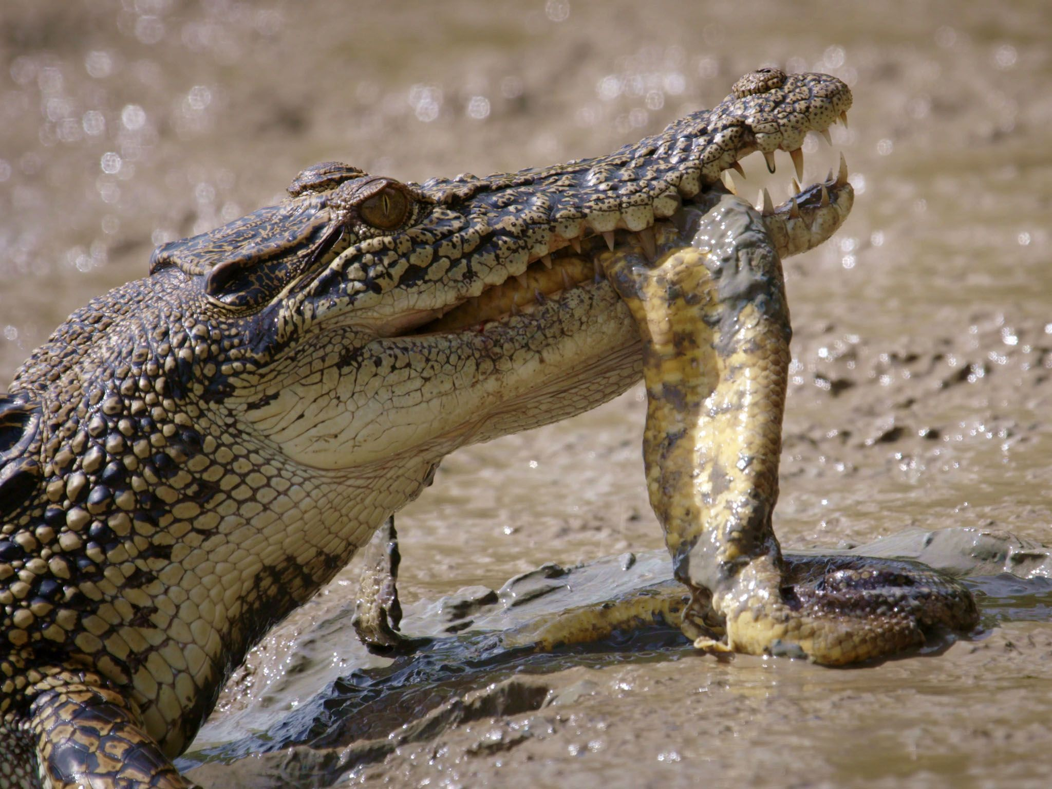 Saltwater Crocodile with dead snake in mouth. This image is from Boss Croc. [Photo of the day - June 2017]