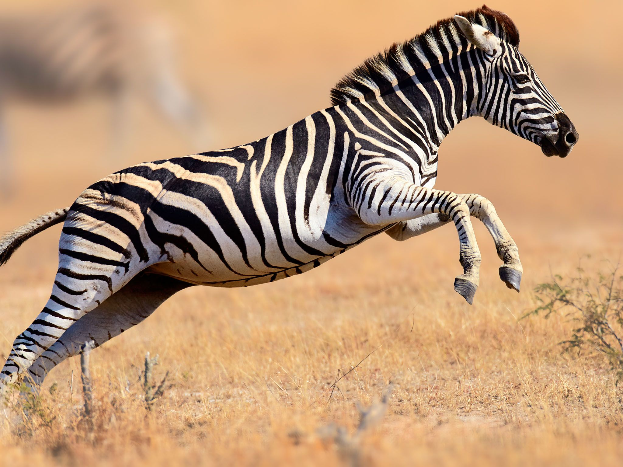 Zebra (Equus burchell's) running and jumping, Kruger National Park. This image is from Survive... [Photo of the day - June 2017]