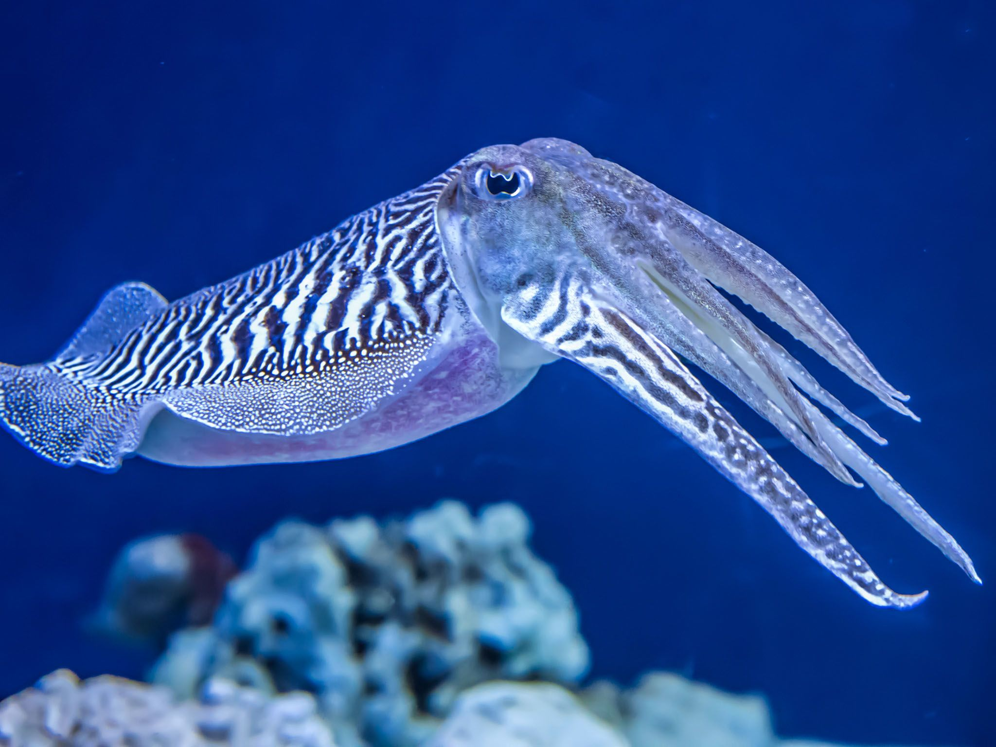The Common (European) Cuttlefish is generally found in the eastern North Atlantic, the English... [Photo of the day - June 2017]