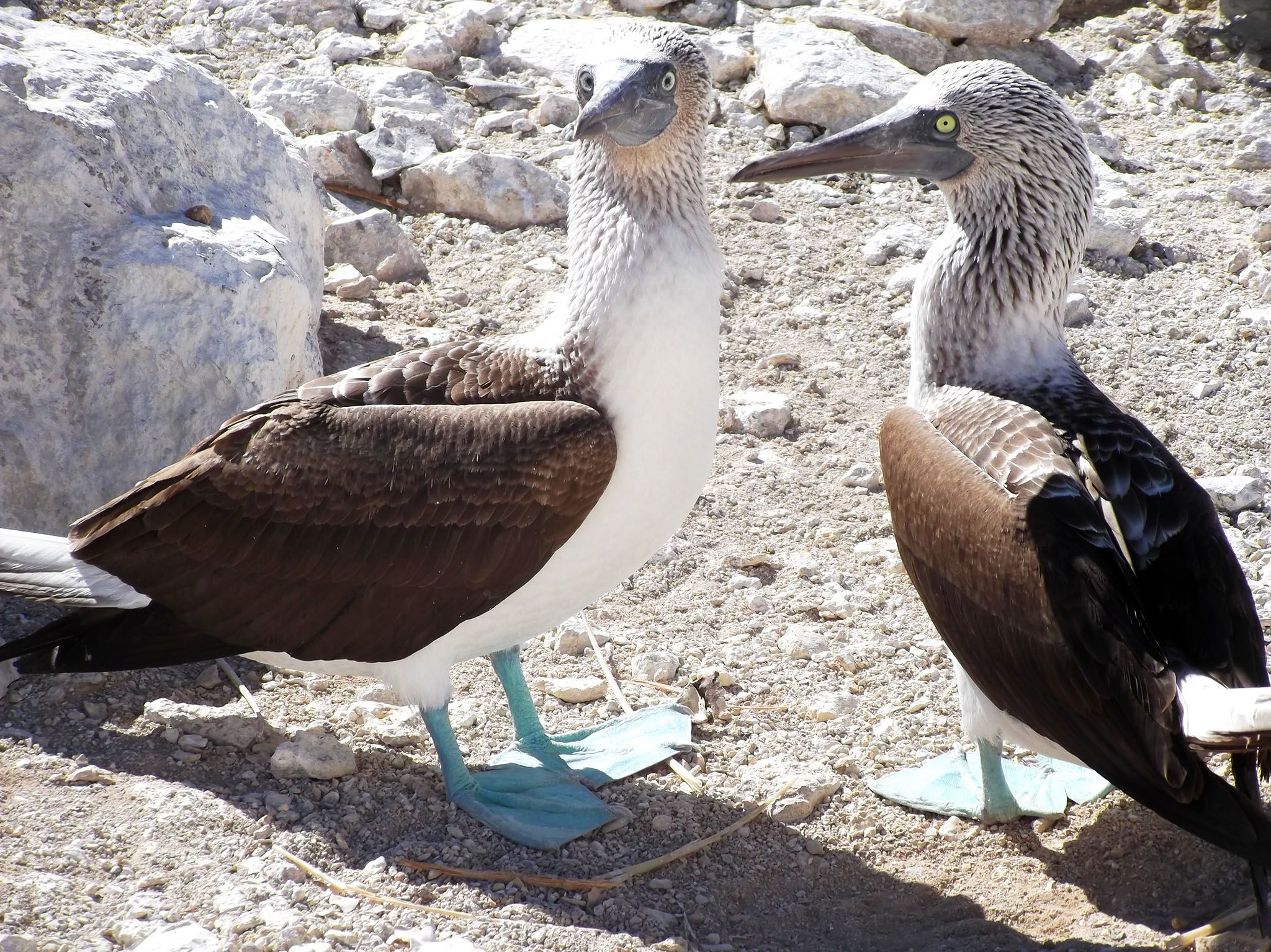 Mexico: Blue-footed boobies. This image is from The Desert Sea. [Photo of the day - July 2017]