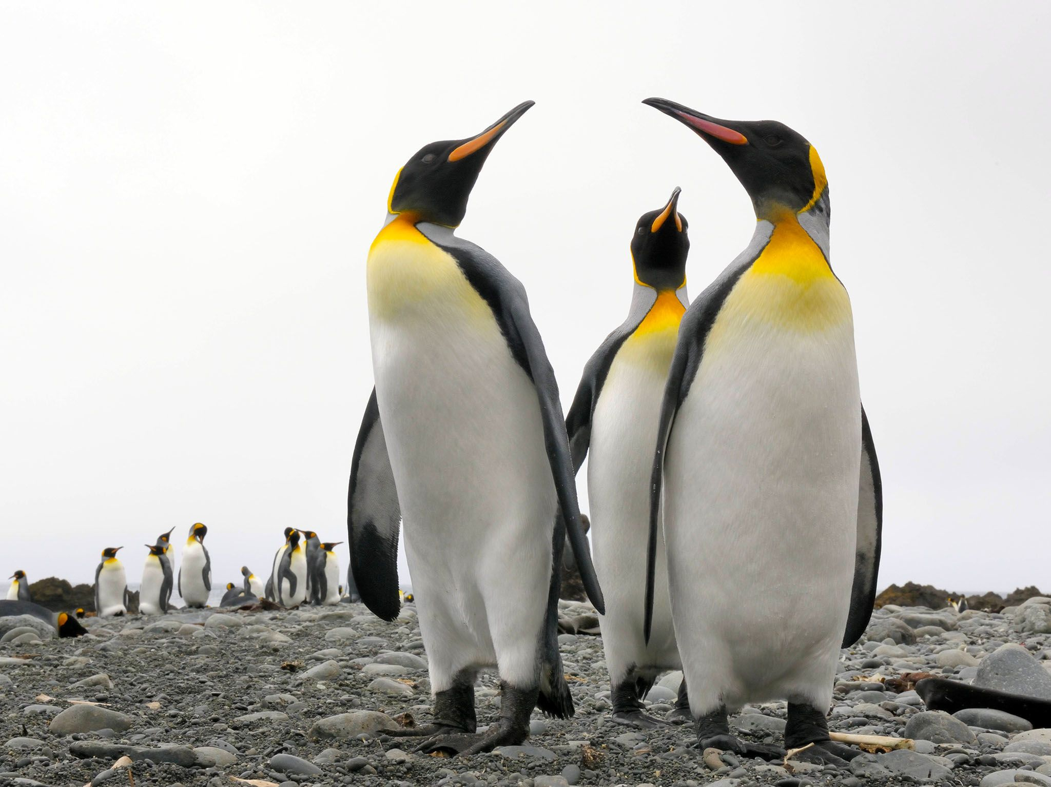 Sandy Beach, South Africa: King penguins walking on beach. Penguins are typically prey for... [Photo of the day - July 2017]