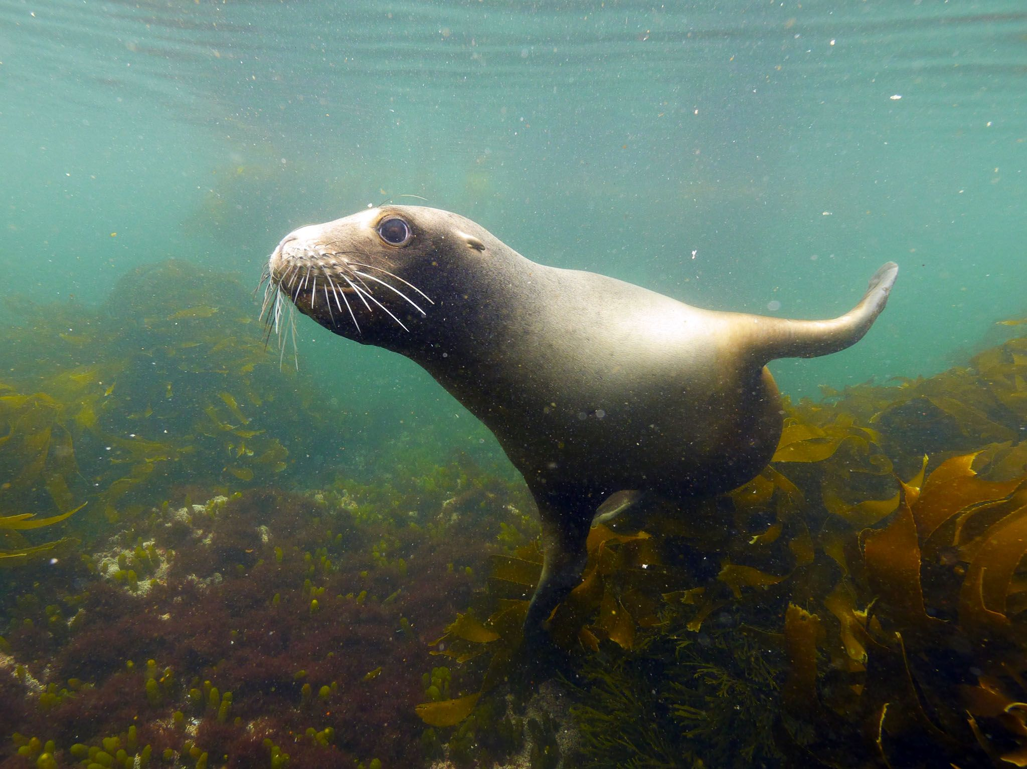 Auckland Islands, New Zealand: New Zealand sea lion. This image is from Savage Island Giants. [Photo of the day - July 2017]
