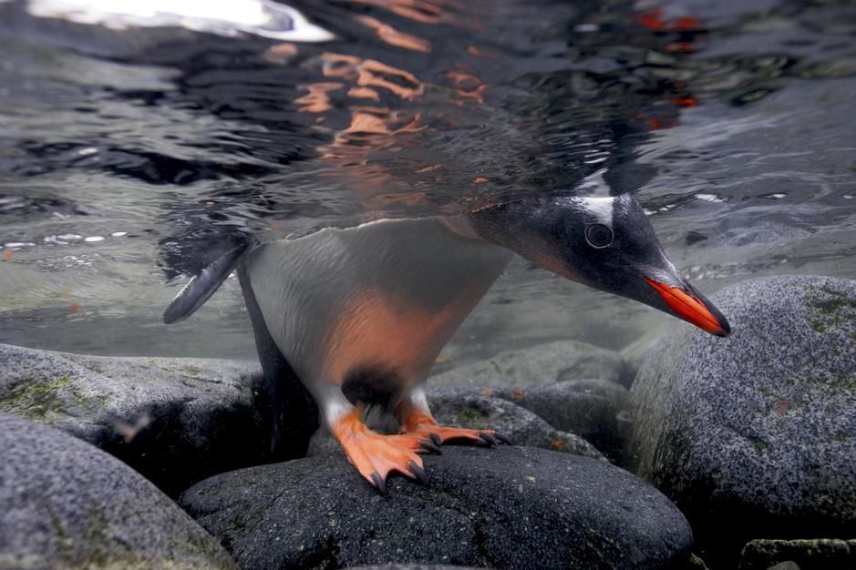 A gentoo penguin peeks beneath the water before taking the plunge in Port Lockroy. Antarctica. [Photo of the day - August 2011]