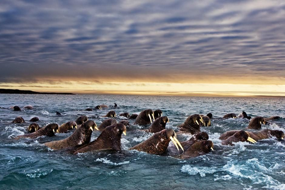 Pacific walruses travel according to the movement of the ice. As the ice expands in the winter,... [Photo of the day - February 2012]