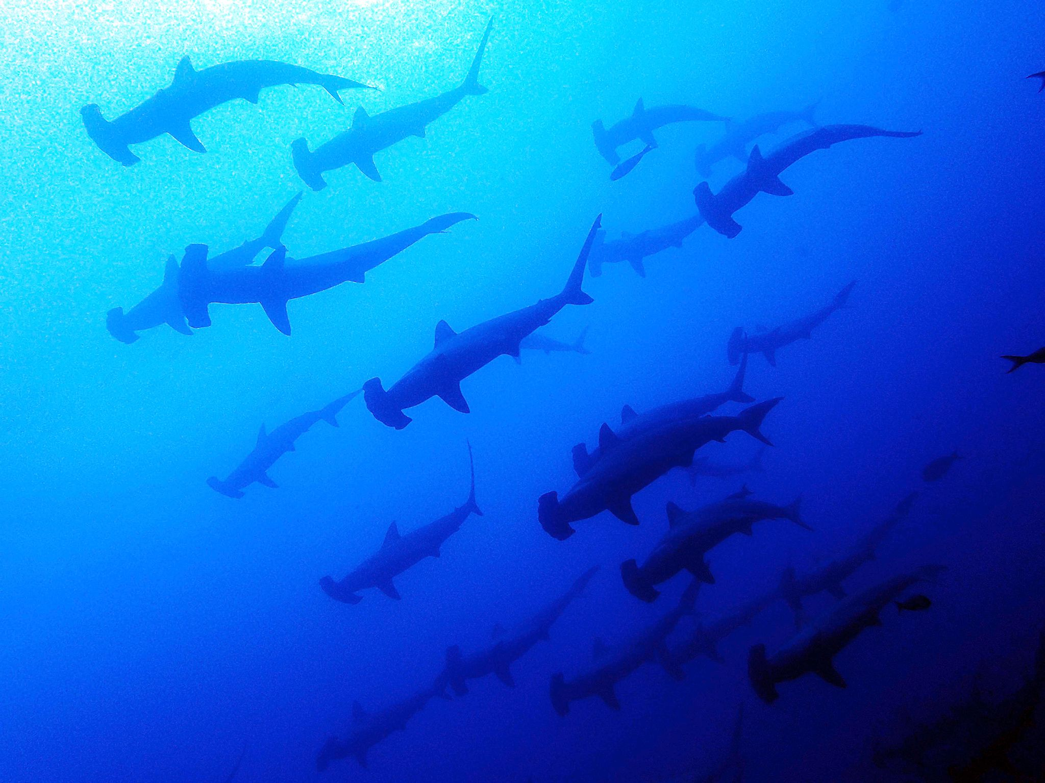A school of Hammerheads swim in the open water. This image is from New Wave Warriors. [Photo of the day - July 2017]