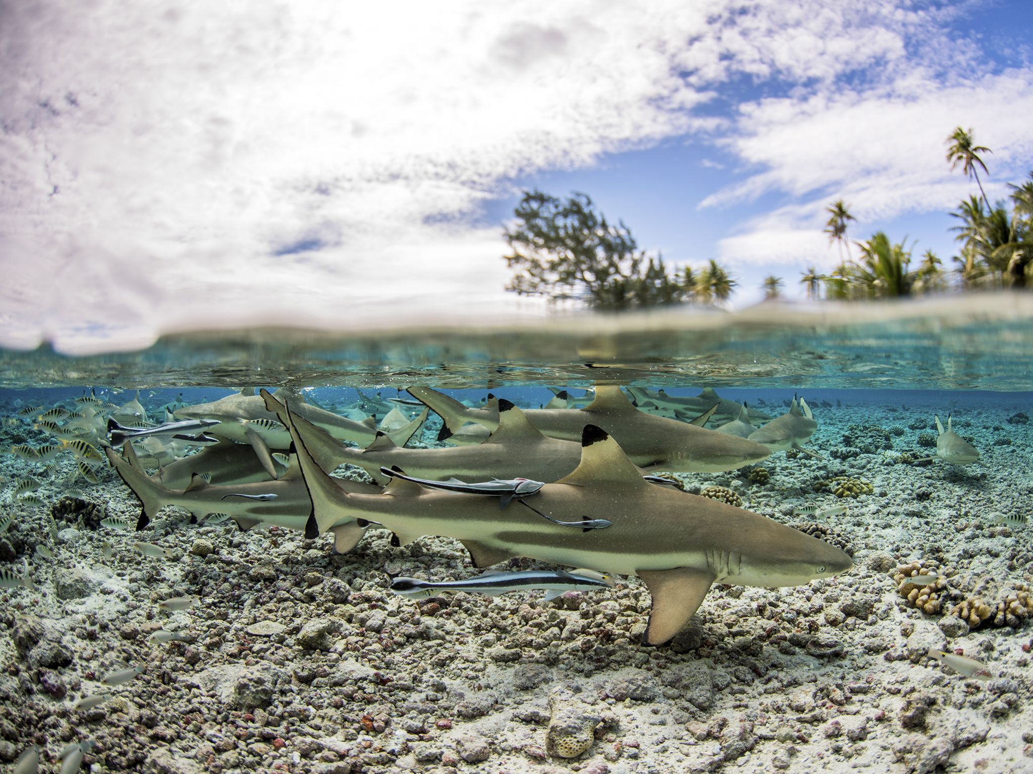 Fakarava, Tahiti: Black tip sharks in shallow water. This image is from Shark Swarm. [Photo of the day - August 2017]