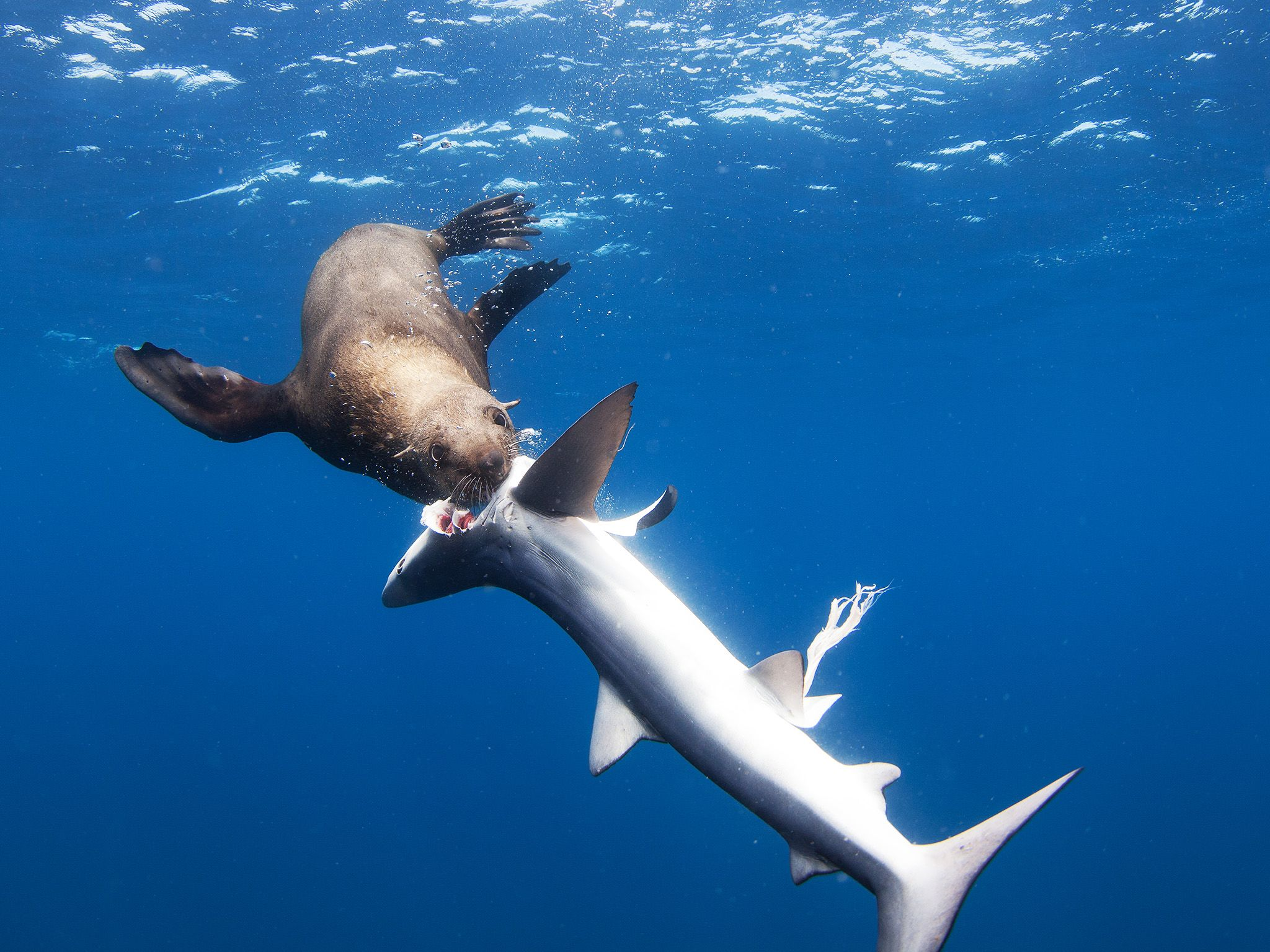 Newport Beach, CA:  A sea lion bites the head off a thresher shark, eyeball exposed.  This image... [Photo of the day - August 2017]