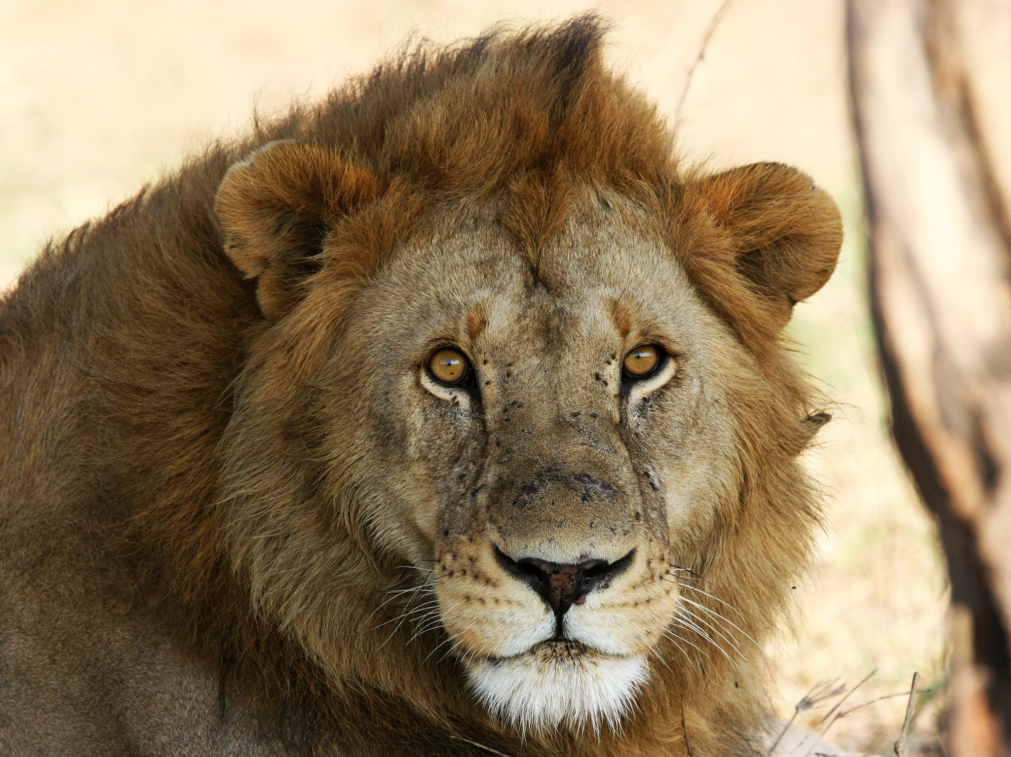 Male lion headshot. This image is from Kings of the Kill. [Photo of the day - August 2017]