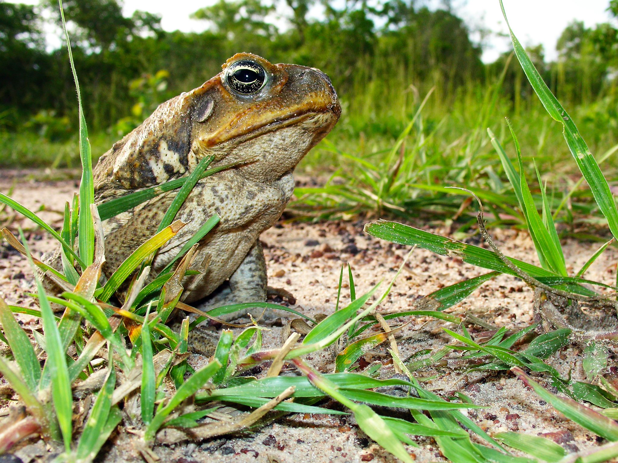 Cane Toad. This image is from Man V. Animal. [Foto del giorno - settembre 2017]
