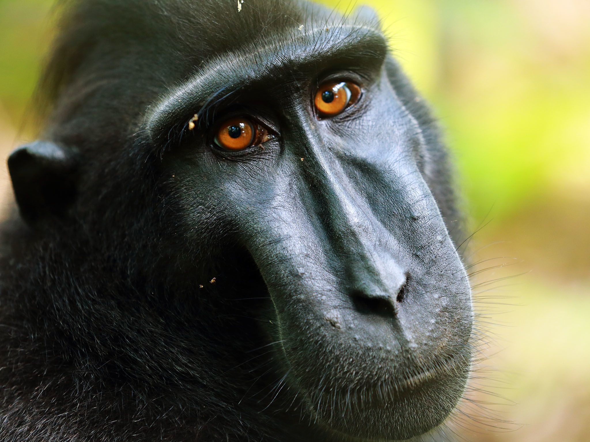 Indonesia:  Crested Macaque. Unusual for a primate, it has striking reddish-brown eyes. Tangkoko... [Photo of the day - September 2017]