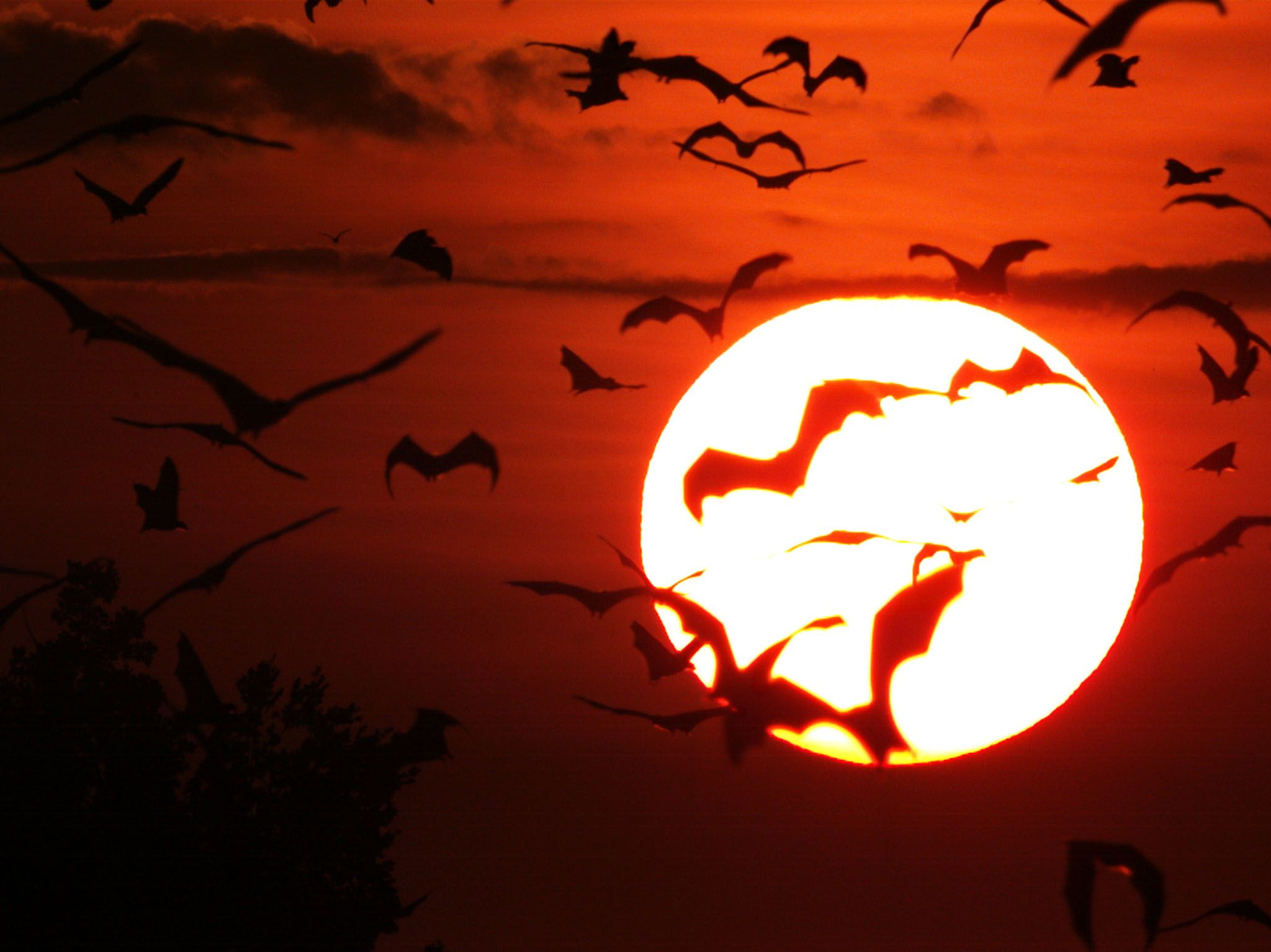 Zambia: Straw coloured fruit bats flying against a settling sun. This image is from Incredible Bats. [Foto del giorno - settembre 2017]