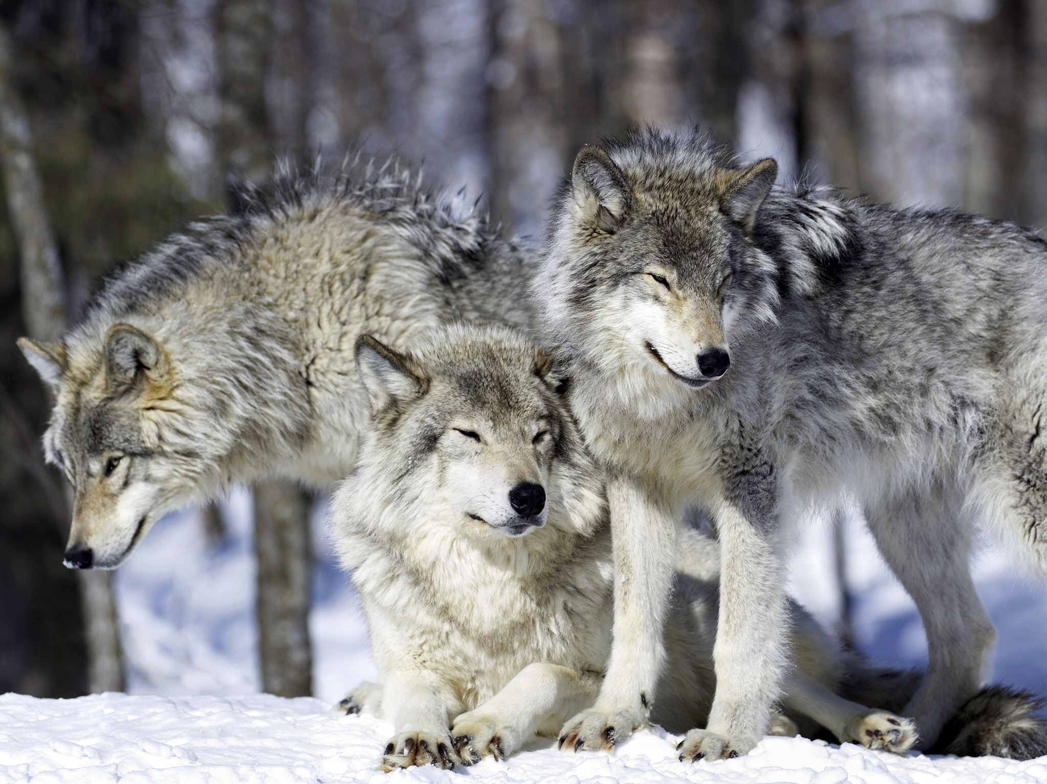 Famous for hunting in a pack, wolves are adaptable, skilled hunters, opportunists and... [Photo of the day - September 2017]