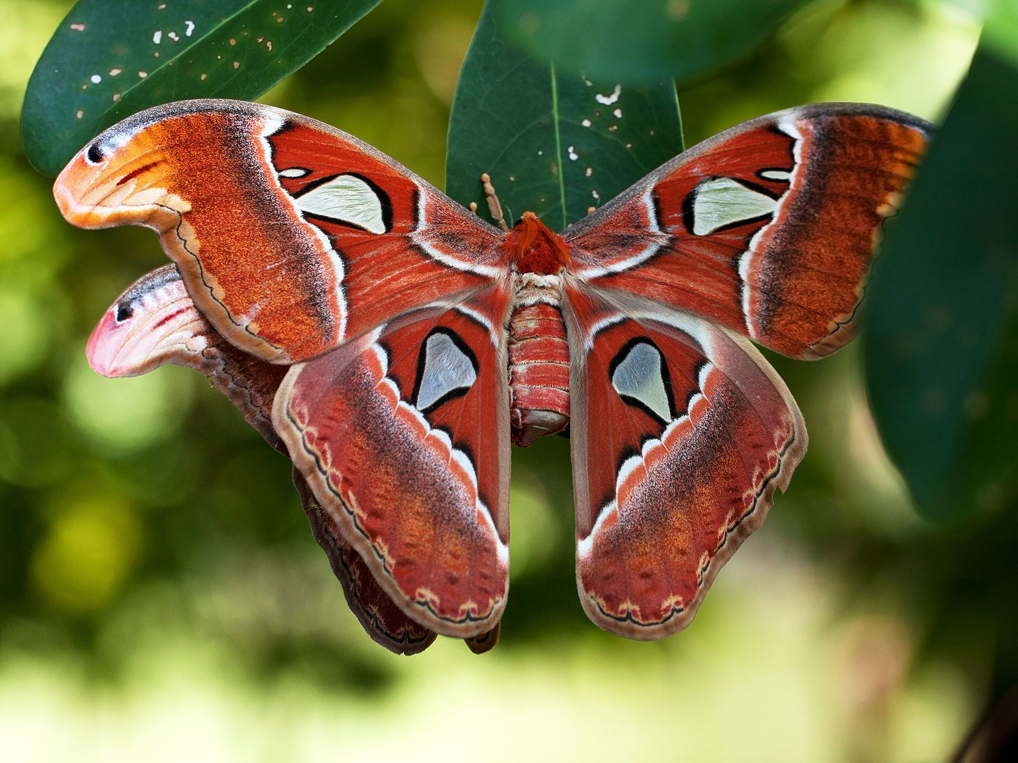 Brunei: Hercules Moths, mating. This image is from Paradise Islands. [Foto del giorno - settembre 2017]