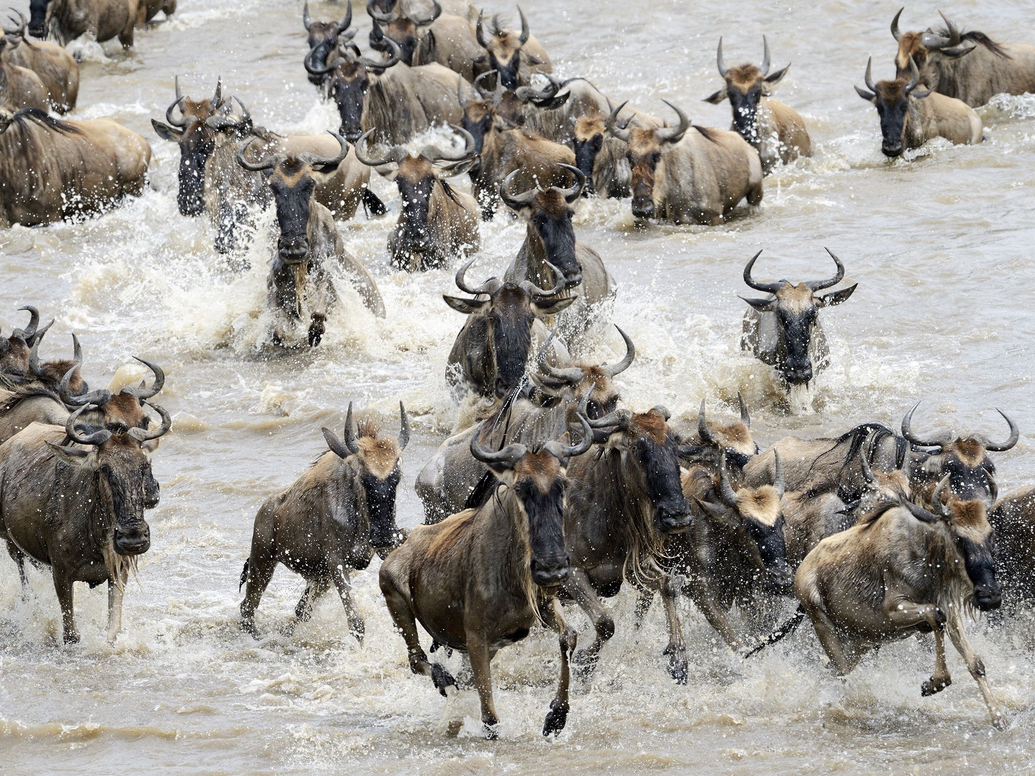 Tanzania:  Wildebeest migration in Serengeti National Park. This image is from Inside The Pack. [Foto del giorno - settembre 2017]