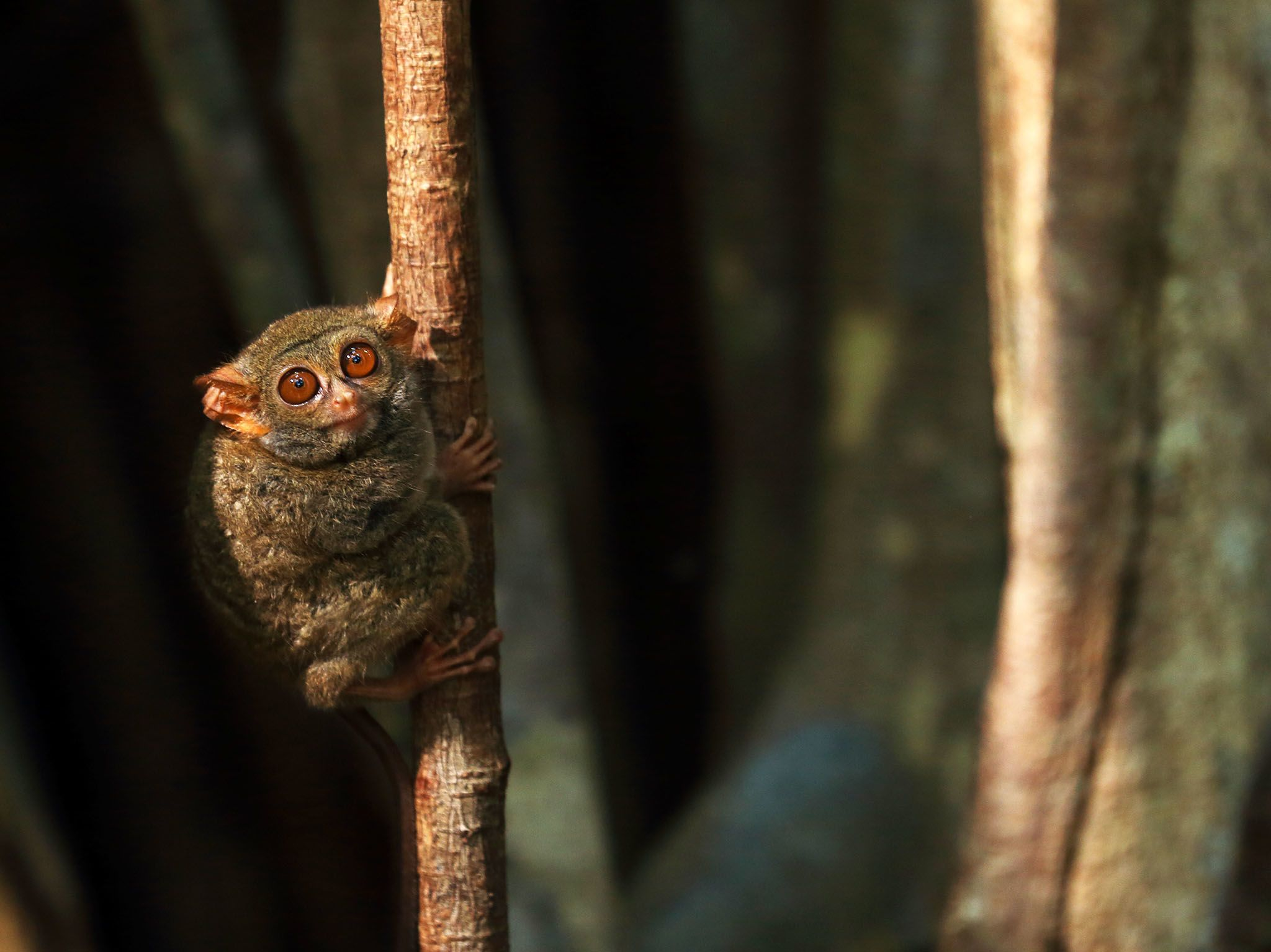 Indonesia:  Spectral Tarsier on sapling. These small primates weigh about 100 grams. This image... [Foto del giorno - settembre 2017]