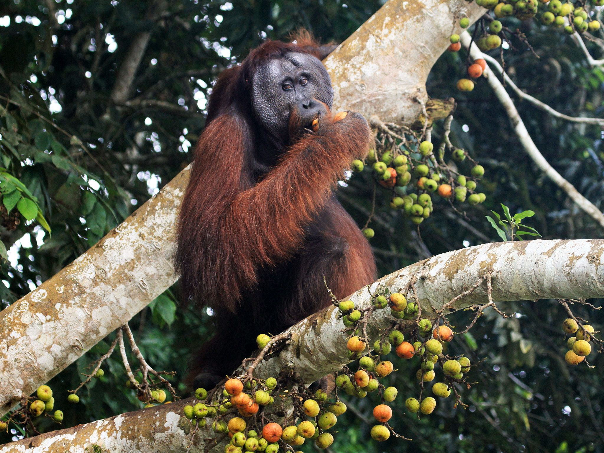 Borneo:  Mature male Orangutan sitting in tree amongst fig fruits, eating figs. This image is... [Photo of the day - October 2017]