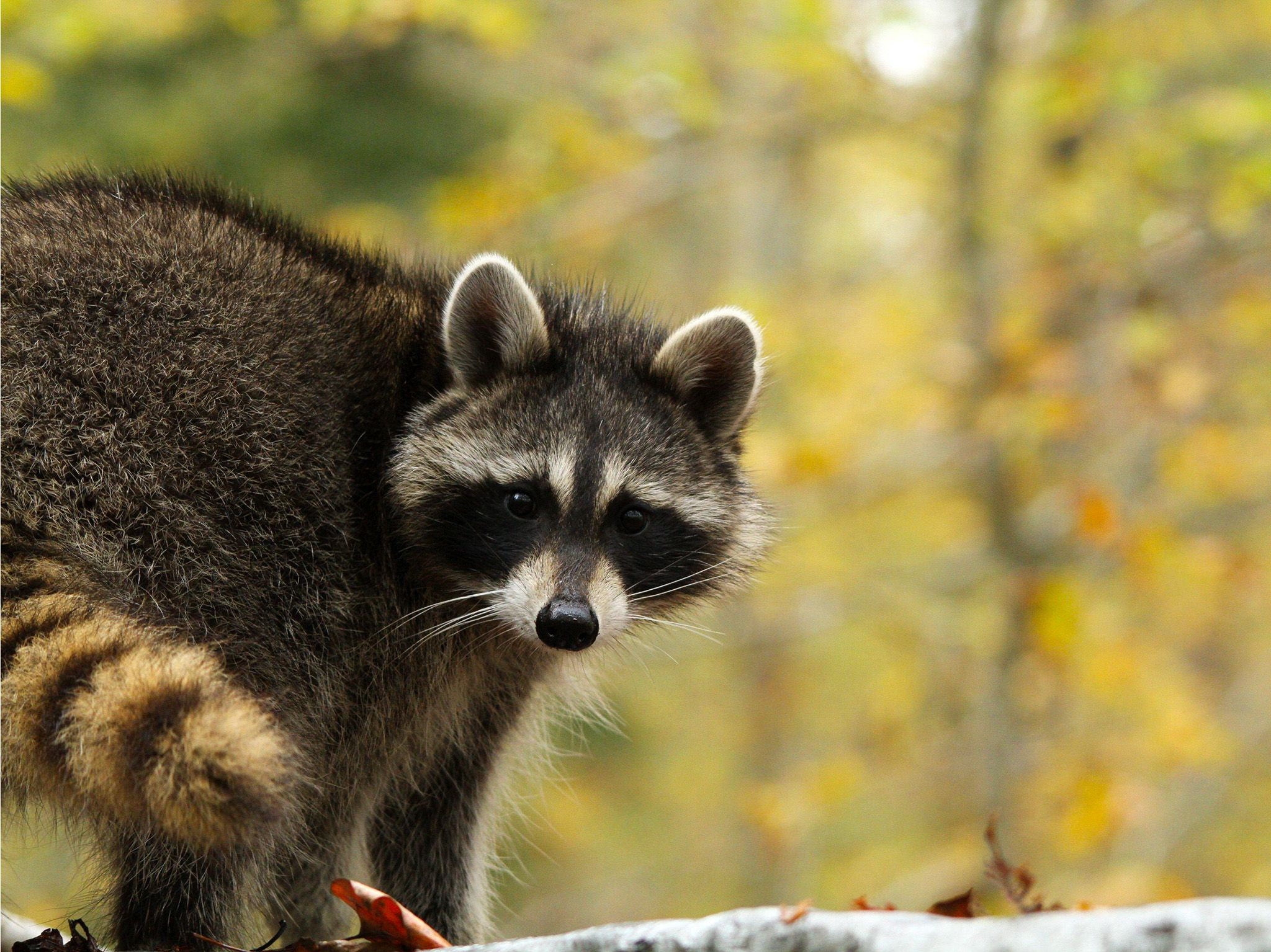 Washington, D.C.:  A raccoon in autumn. This image is from Animal Outlaws. [Foto del giorno - ottobre 2017]