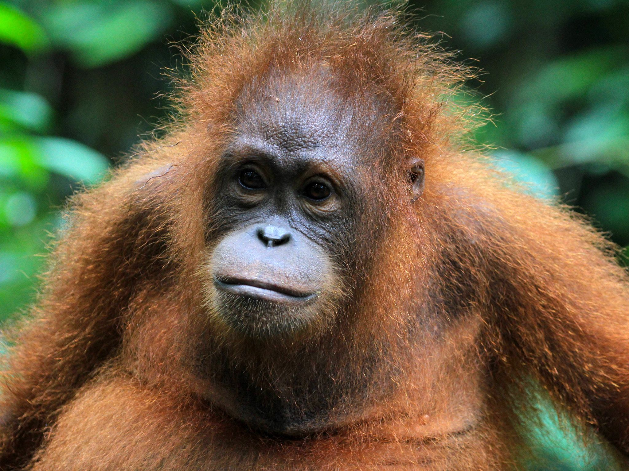 Malaysia: Orangutan head and shoulders. This image is from Borneo's Secret Kingdom: Weird and Wild. [Photo of the day - October 2017]
