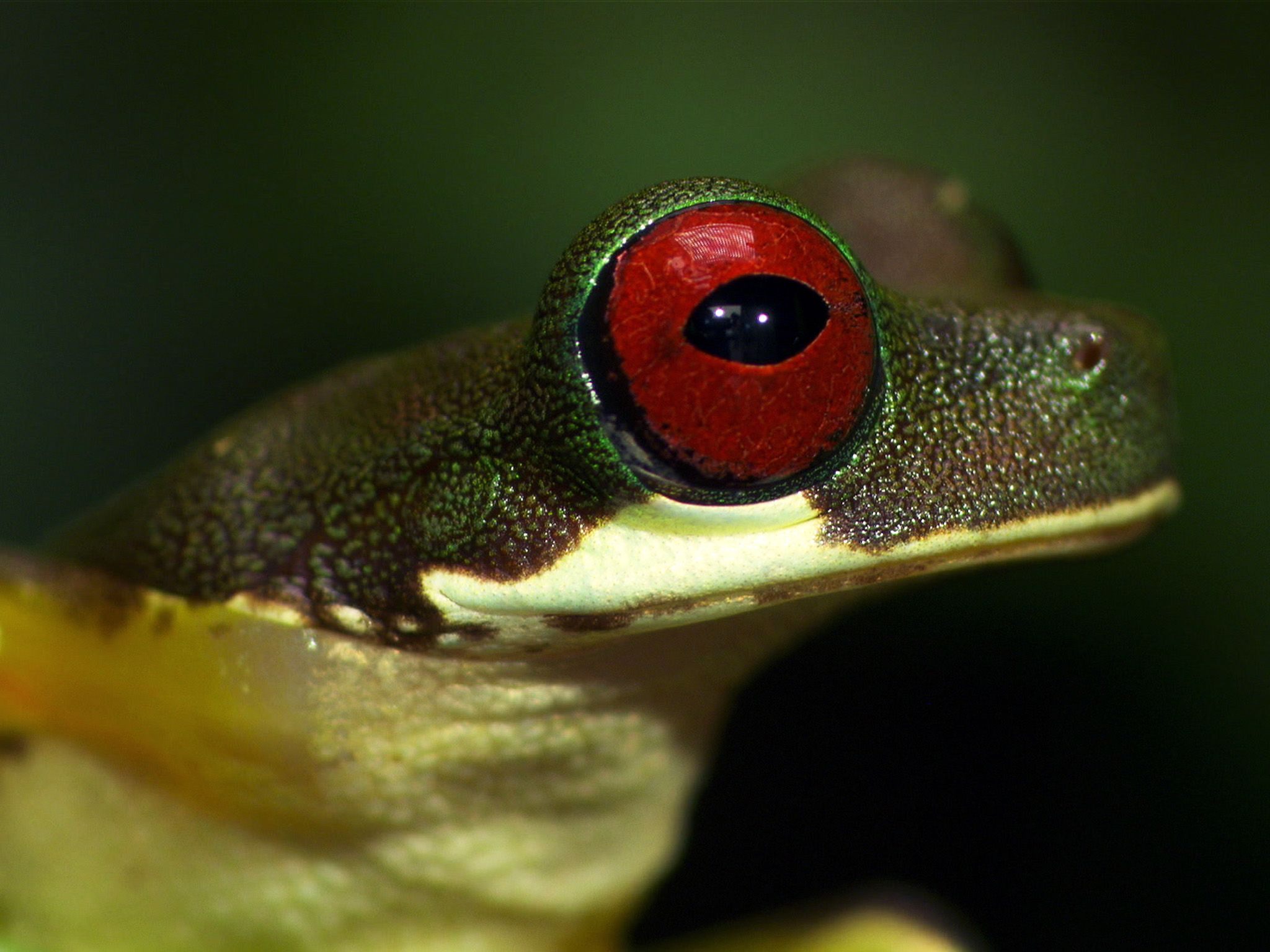 Costa Rica: A Red-eyed stream frog face. This image is from Wonderfully Weird. [Photo of the day - October 2017]