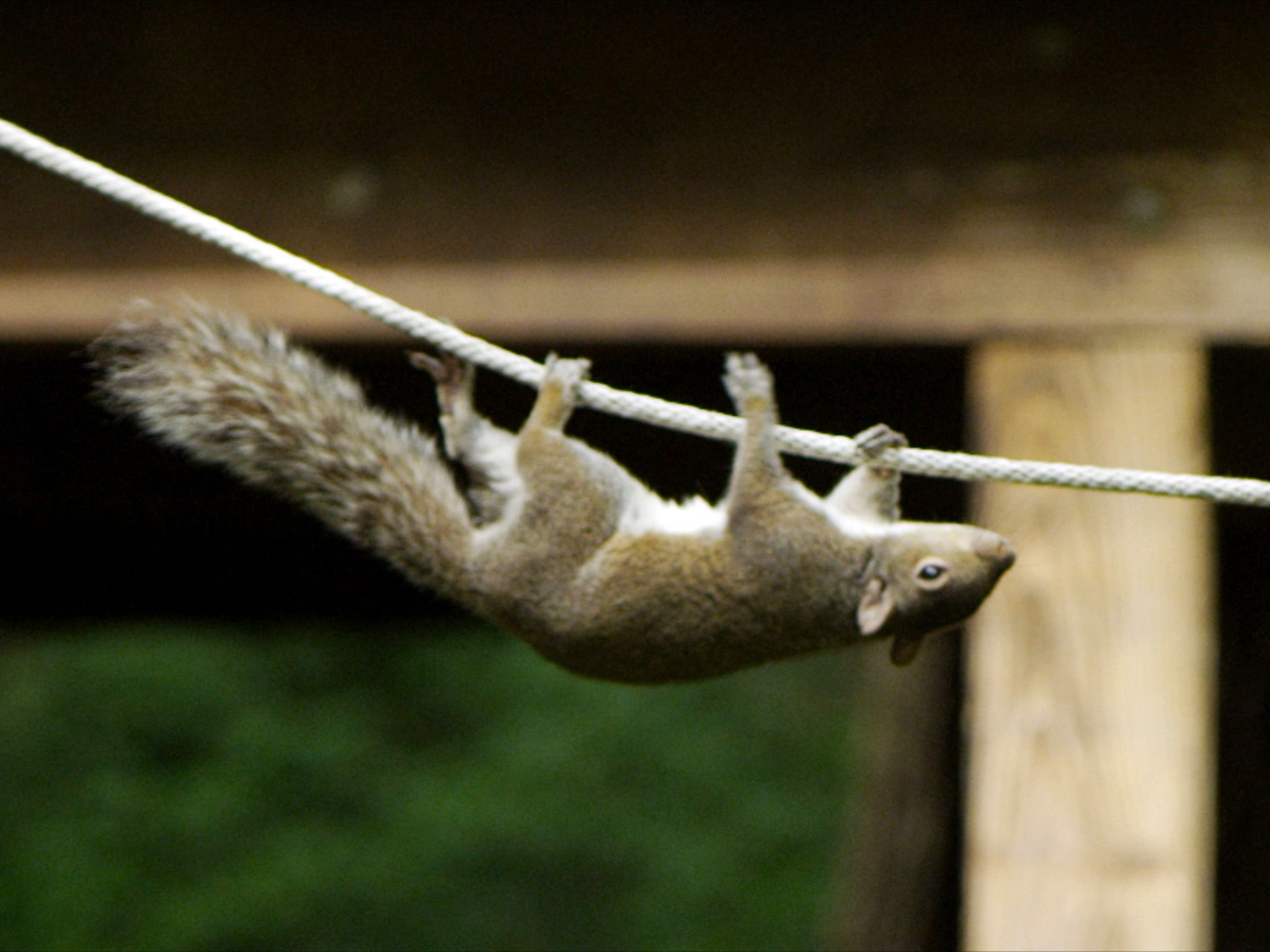 A squirrel on an obstacle course.  This image is from Animal Outlaws. [Photo of the day - October 2017]
