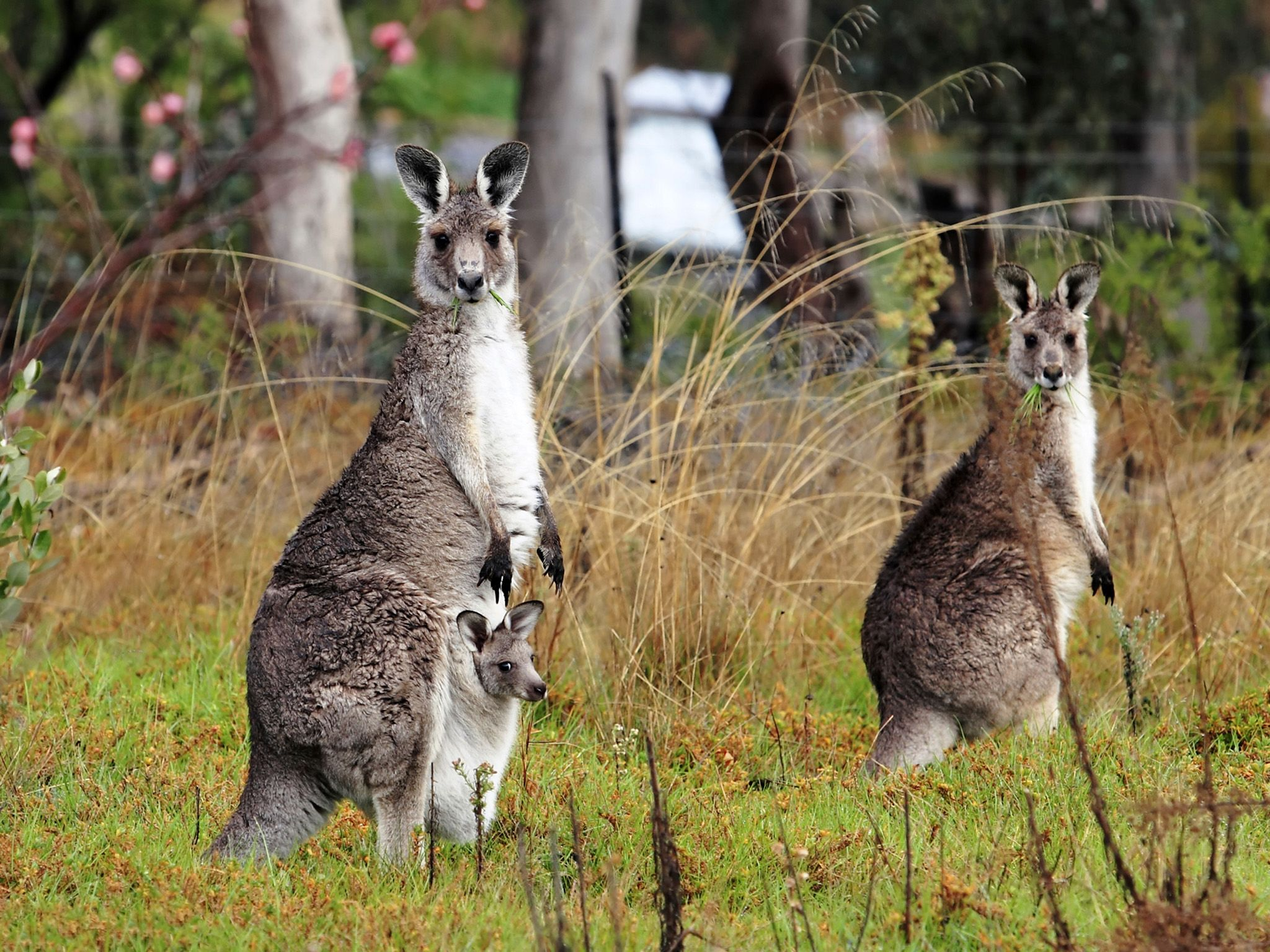 A gray kangaroo and her joey with another kangaroo in a fruit garden (peach blossoms visible)... [Foto del giorno - ottobre 2017]