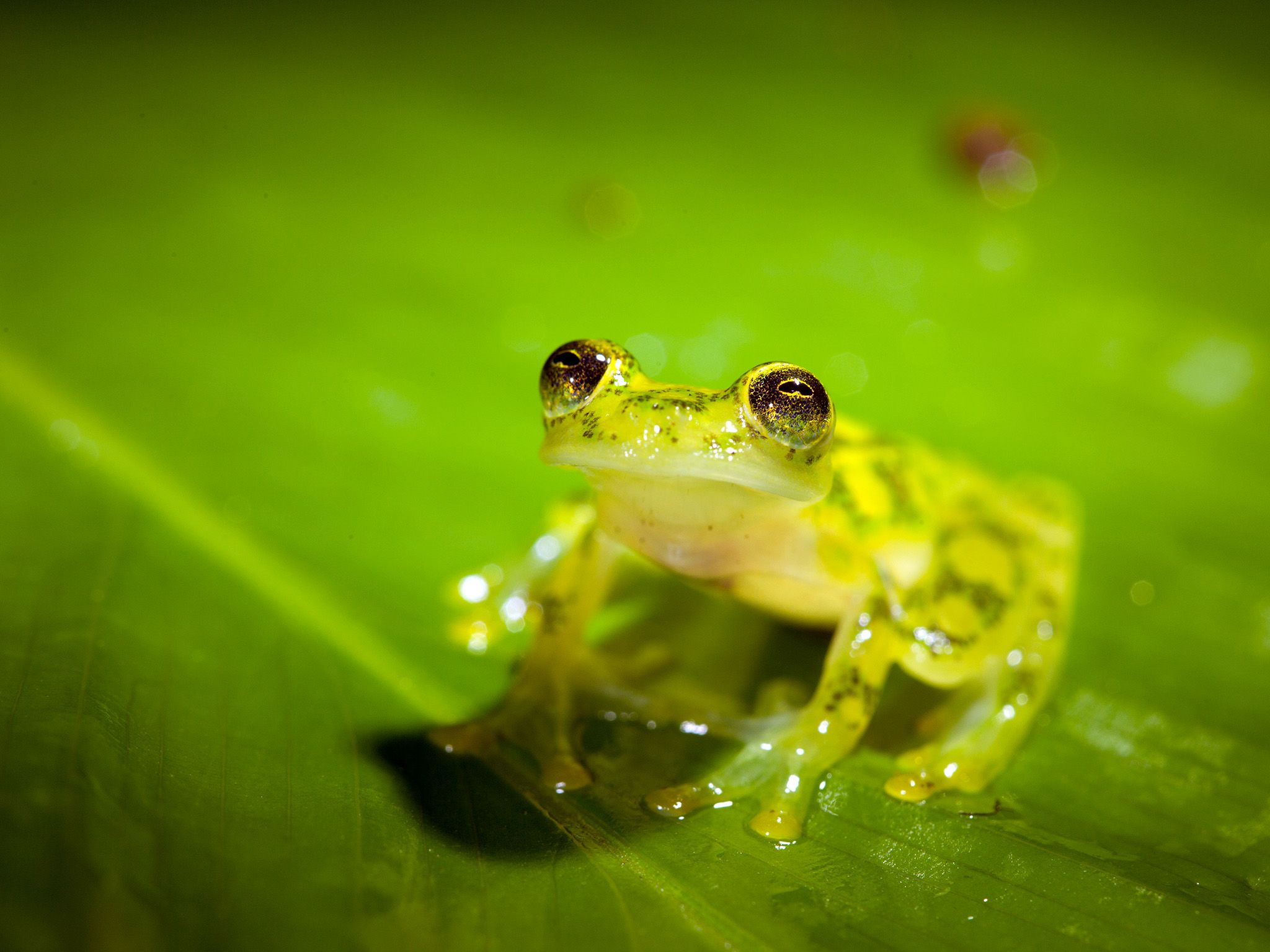 Costa Rican Amphibian Research Center.   Siquirres, Costa Rica: An adult reticulated glass frog... [Photo of the day - October 2017]