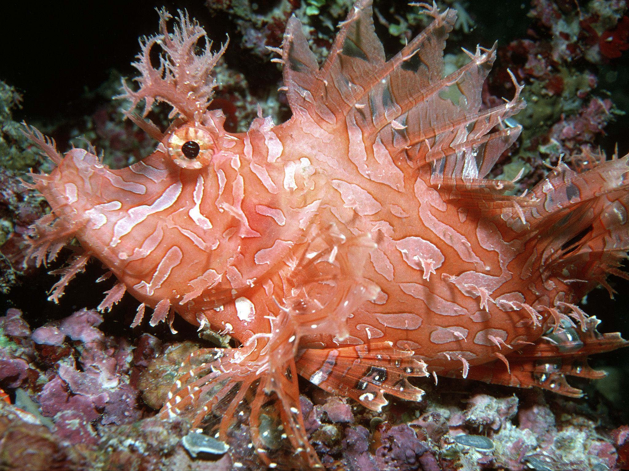 Indo-Pacific Ocean:  The Weedy scorpionfish (Rhinopias aphanes) is a peculiar looking fish with... [Foto del giorno - ottobre 2017]