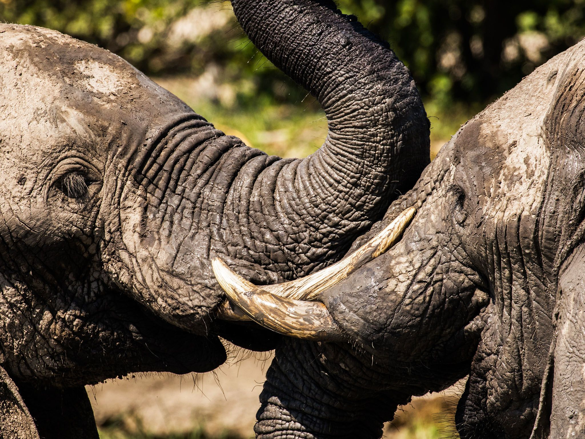 Chobe National Park, Botswana:  A close up shot of two elephants with their faces pressed up... [Photo of the day - November 2017]