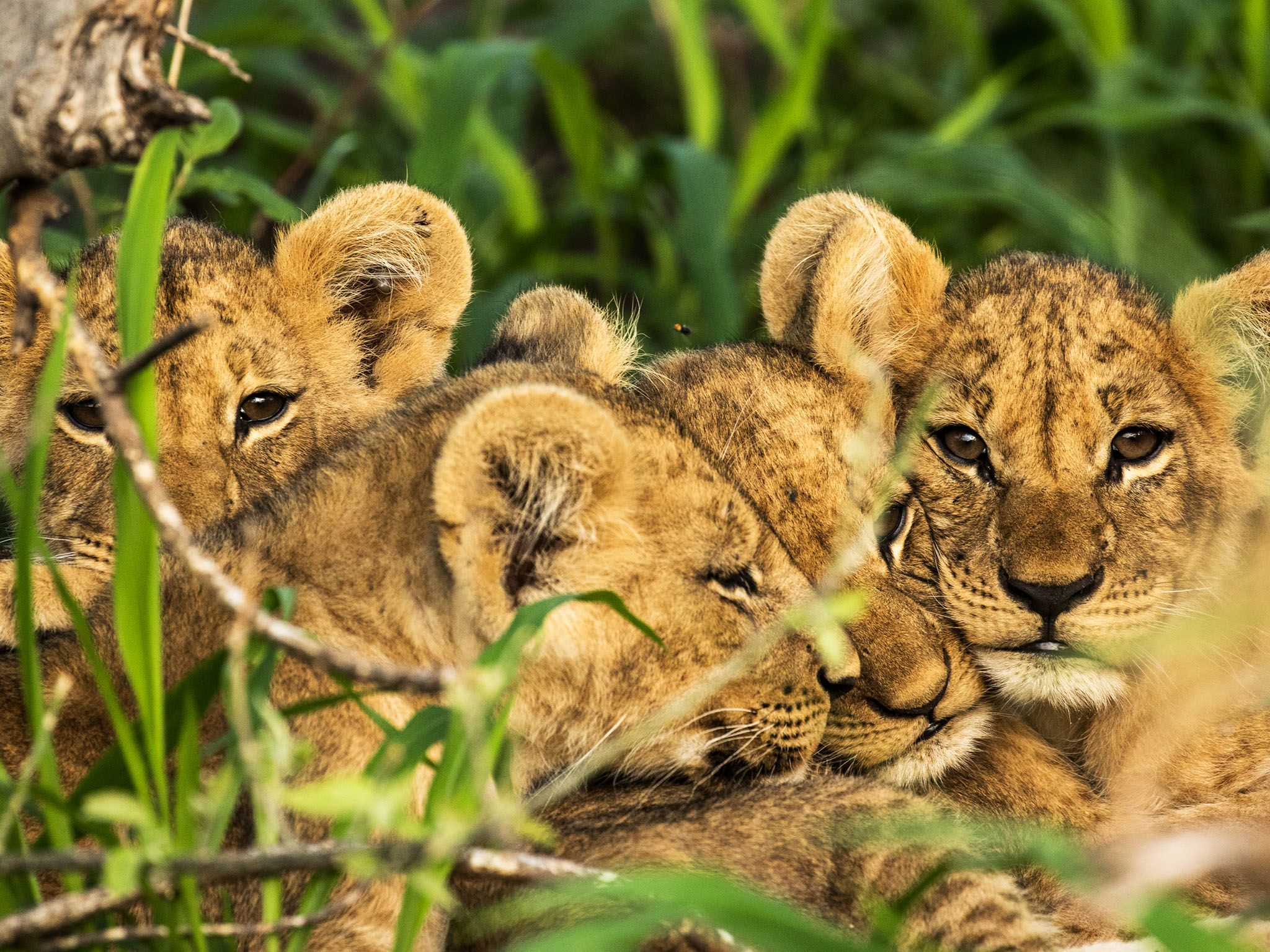 Chobe National Park, Botswana:  Matsumi's four new cubs huddle up in the long cool grass as they... [Foto del giorno - novembre 2017]