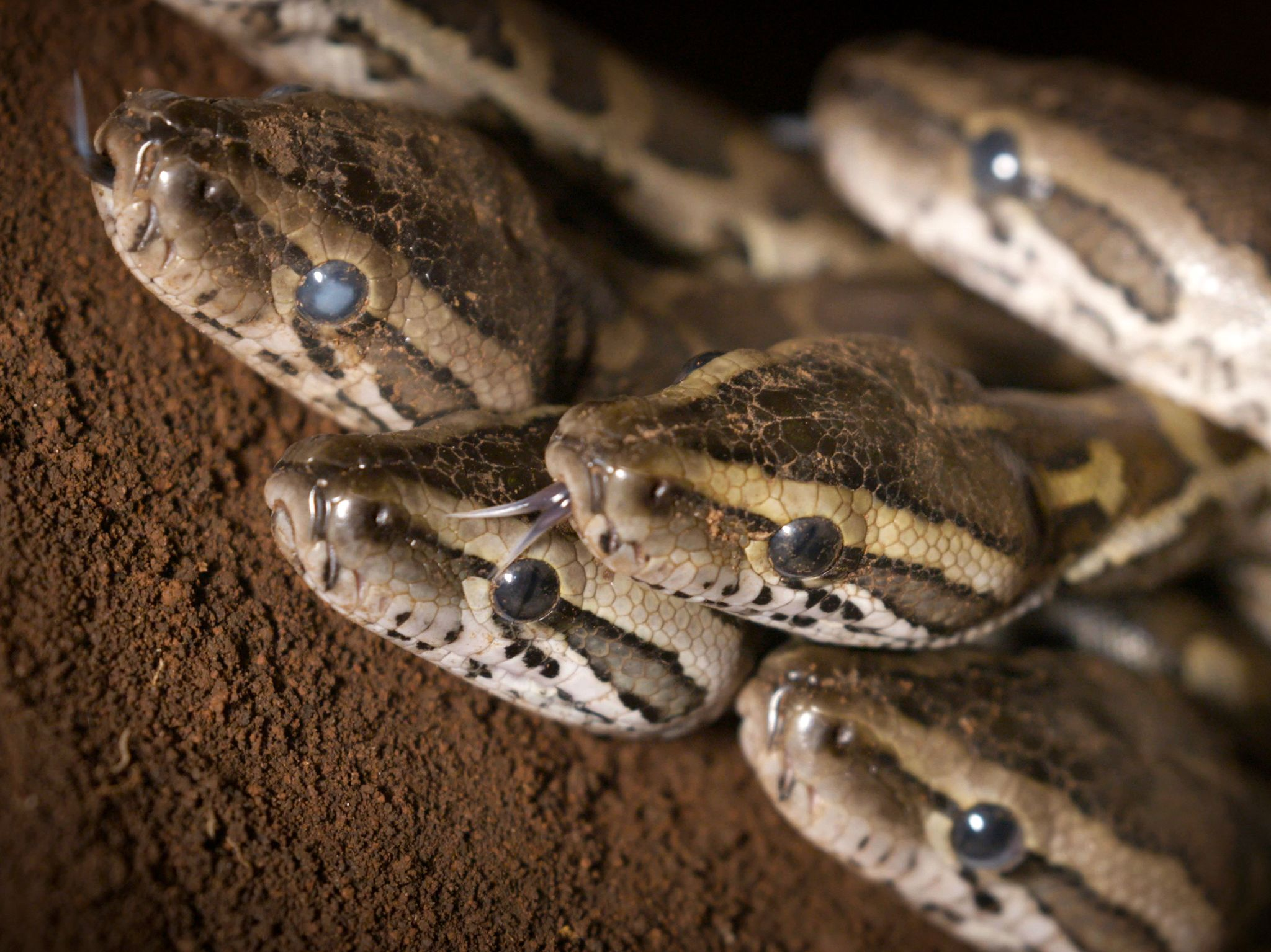 South Africa: Baby rock pythons prepare to leave the nest. This image is from Africa's Super Snake. [Photo of the day - November 2017]