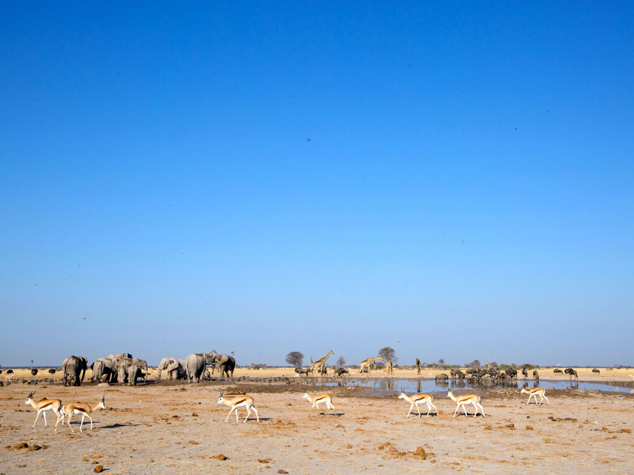 Nxai Pan, Botswana:  Shrinking waterhole surrounded by springbok  elephant herd in middle... [Foto del giorno - novembre 2017]