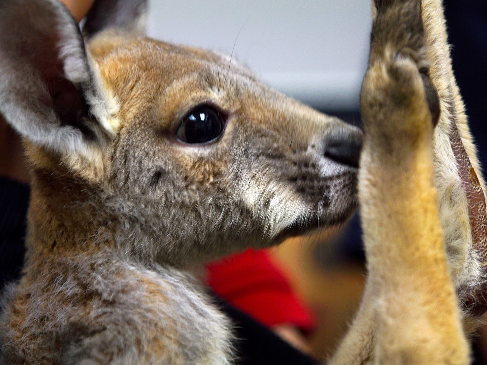 Houston, TX:  Close-up of Delilah, the baby kangaroo.  This image is from Animal ER. [Foto del giorno - novembre 2017]