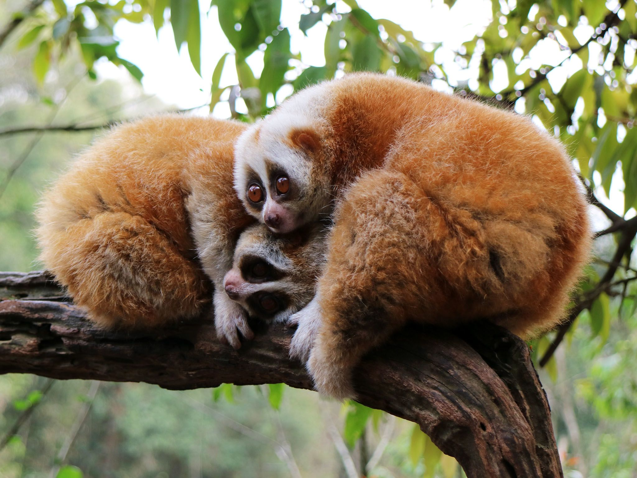 Pu'er Sun River National Park, Yunnan:  2 Slow lorises waking up at dusk.  Lorises are the only... [Foto del giorno - novembre 2017]