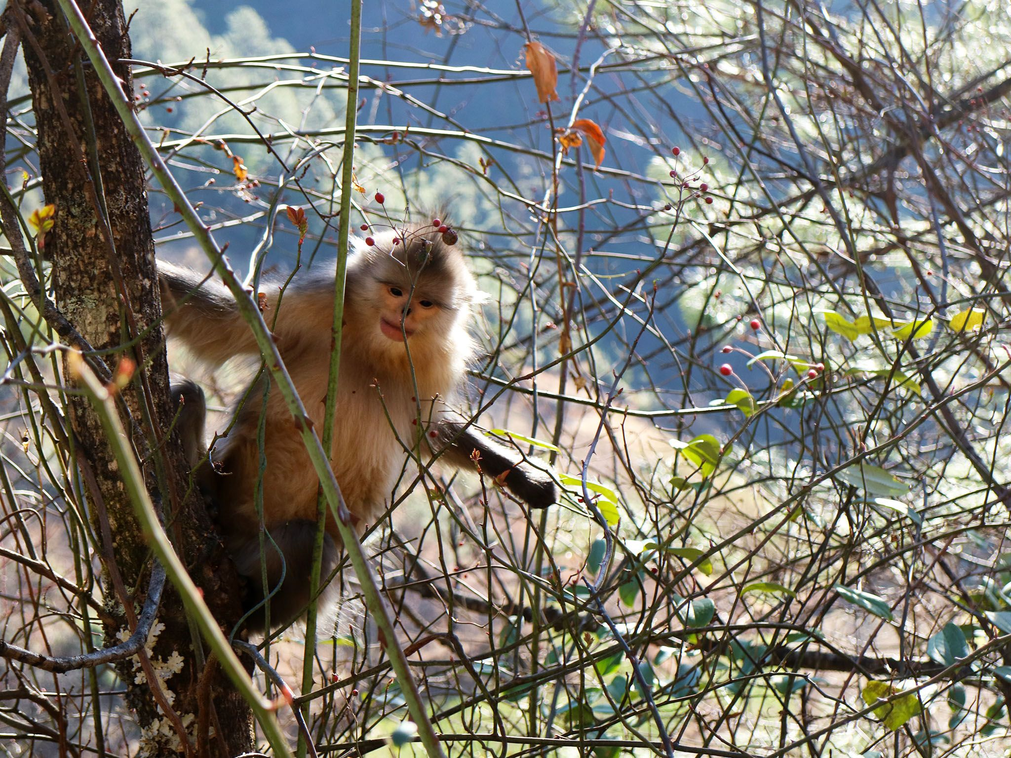 Baima Snow Mountain Nature Reserve, Yunnan:  Juvenile Yunnan snub nosed monkey in a tree.... [Photo of the day - November 2017]