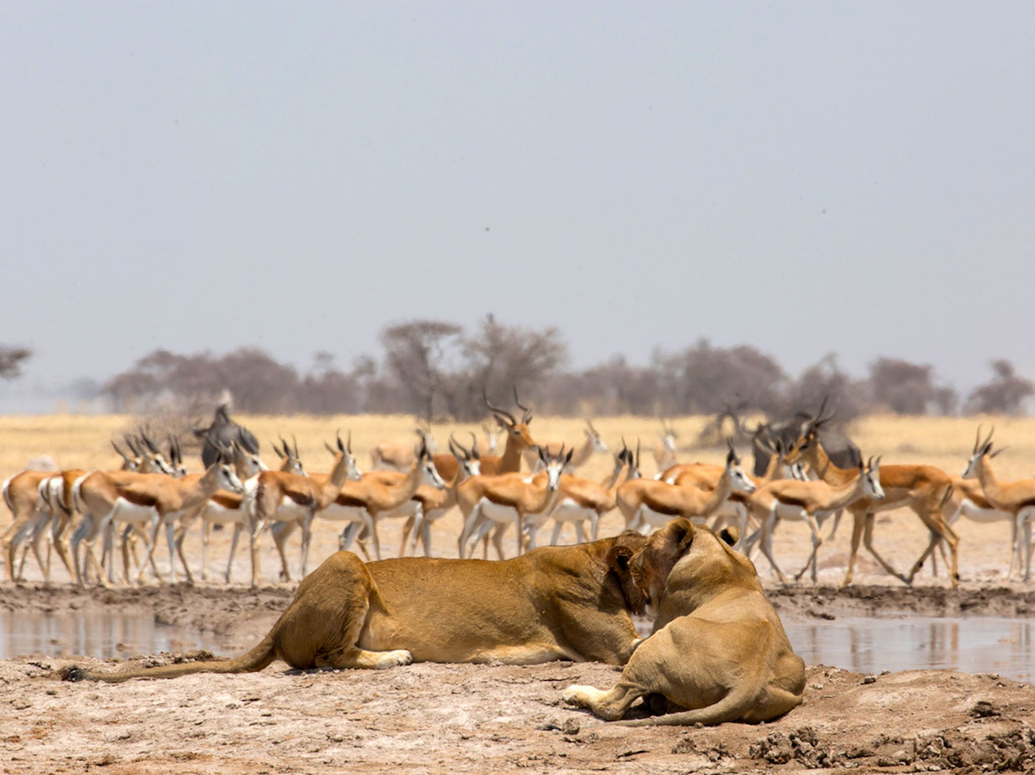 Nxai Pan, Botswana:  Lionesses (Panthera leo) lying  next to a waterhole, while wildebeest... [Photo of the day - November 2017]