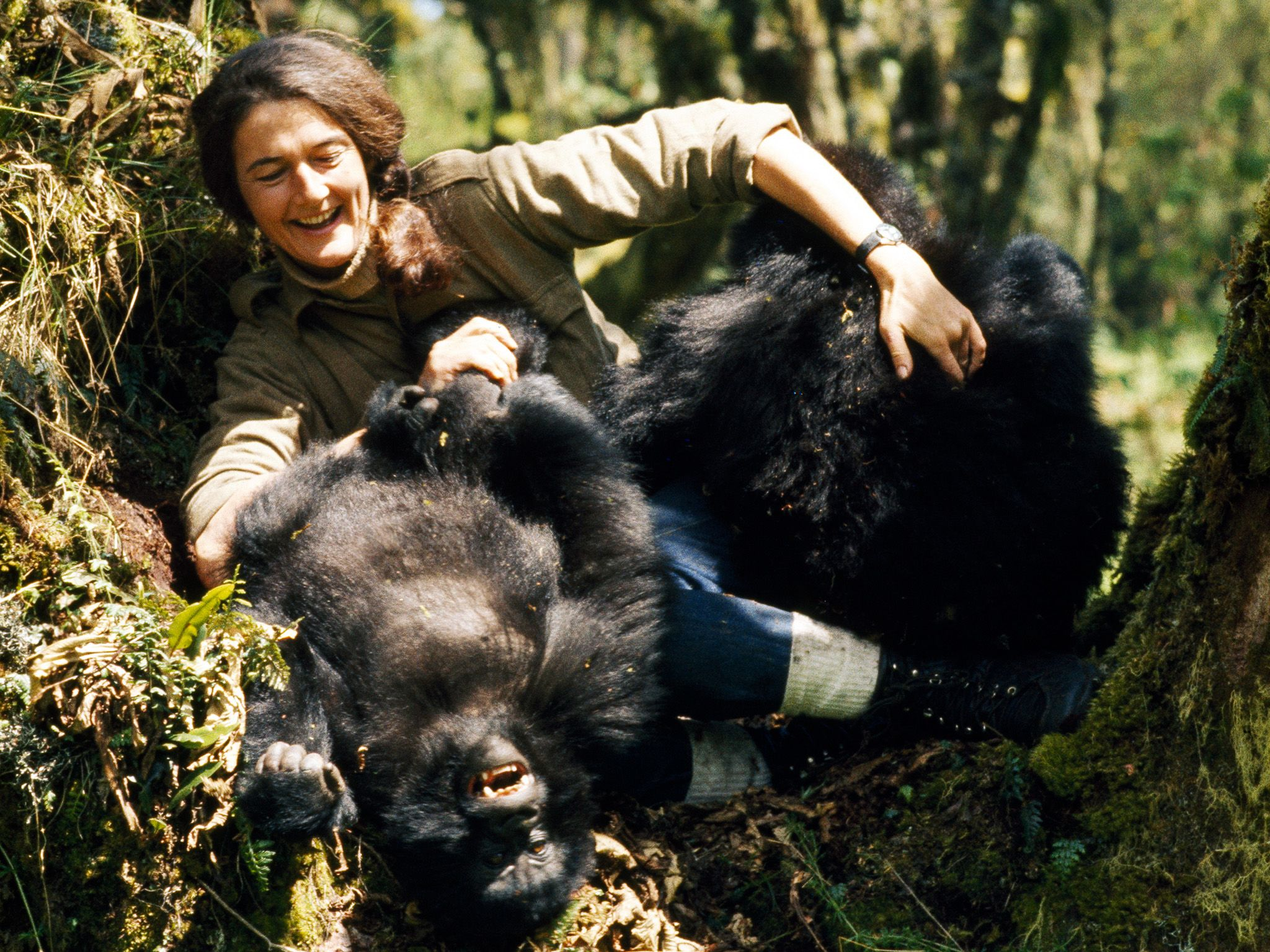 Dian Fossey plays with two young mountain gorillas in the wild. This image is from Dian Fossey:... [Photo of the day - December 2017]