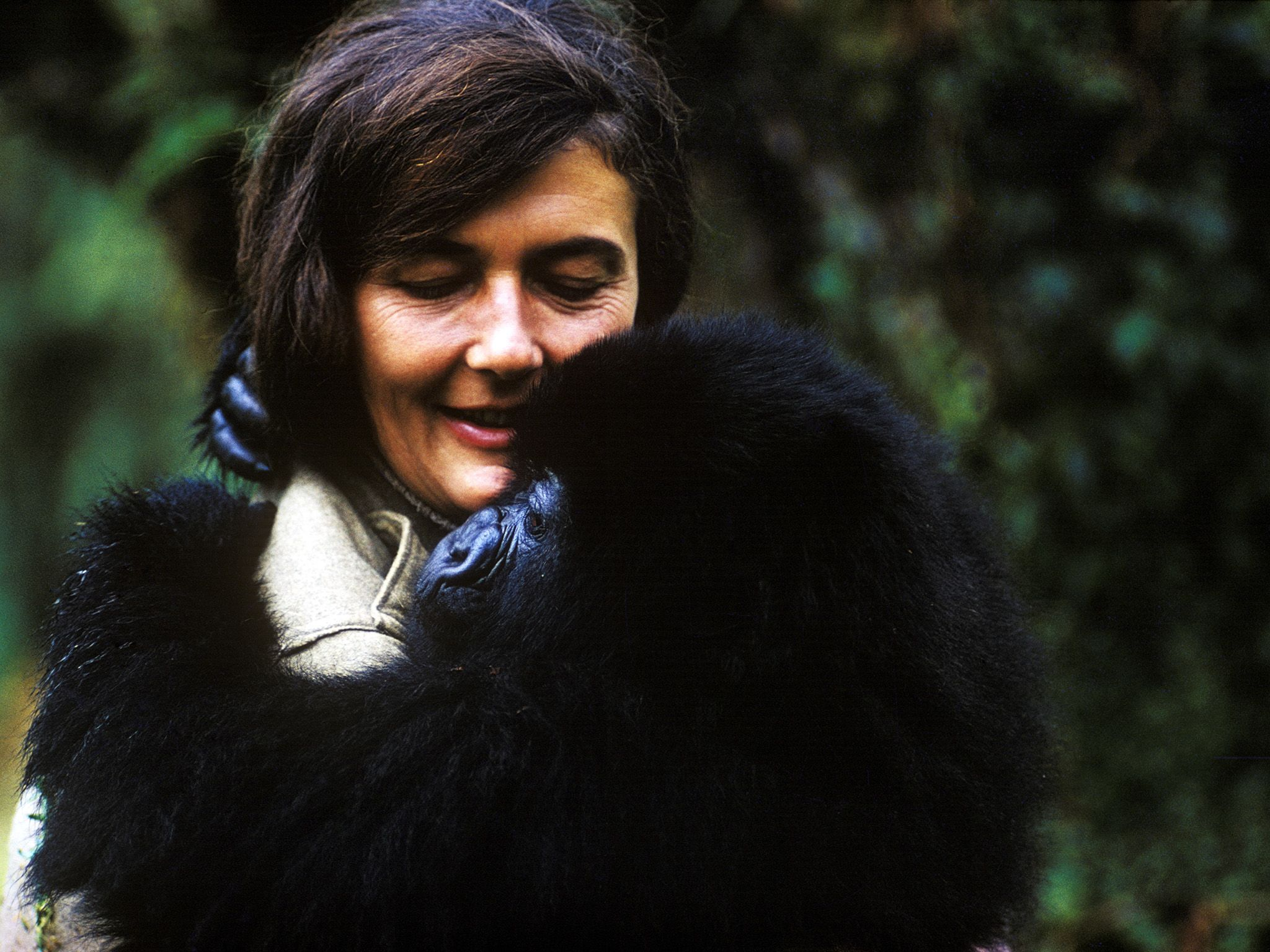 Dian Fossey holds a mountain gorilla that she nursed back to health. This image is from Dian... [Photo of the day - December 2017]