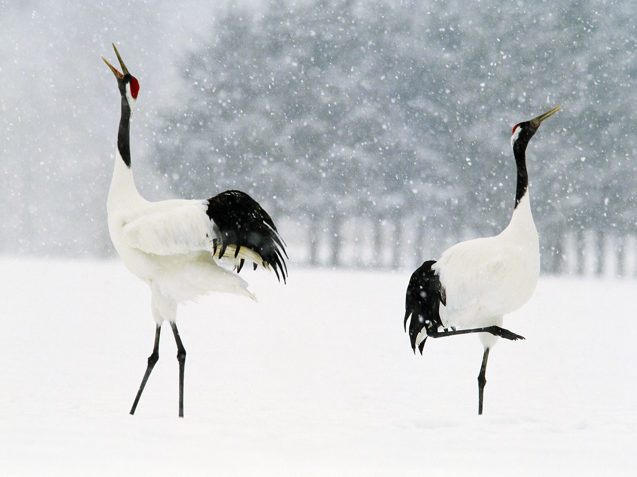Siberia:  Red crowned cranes pair for life and each spring they renew their bond by performing a... [Photo of the day - December 2017]