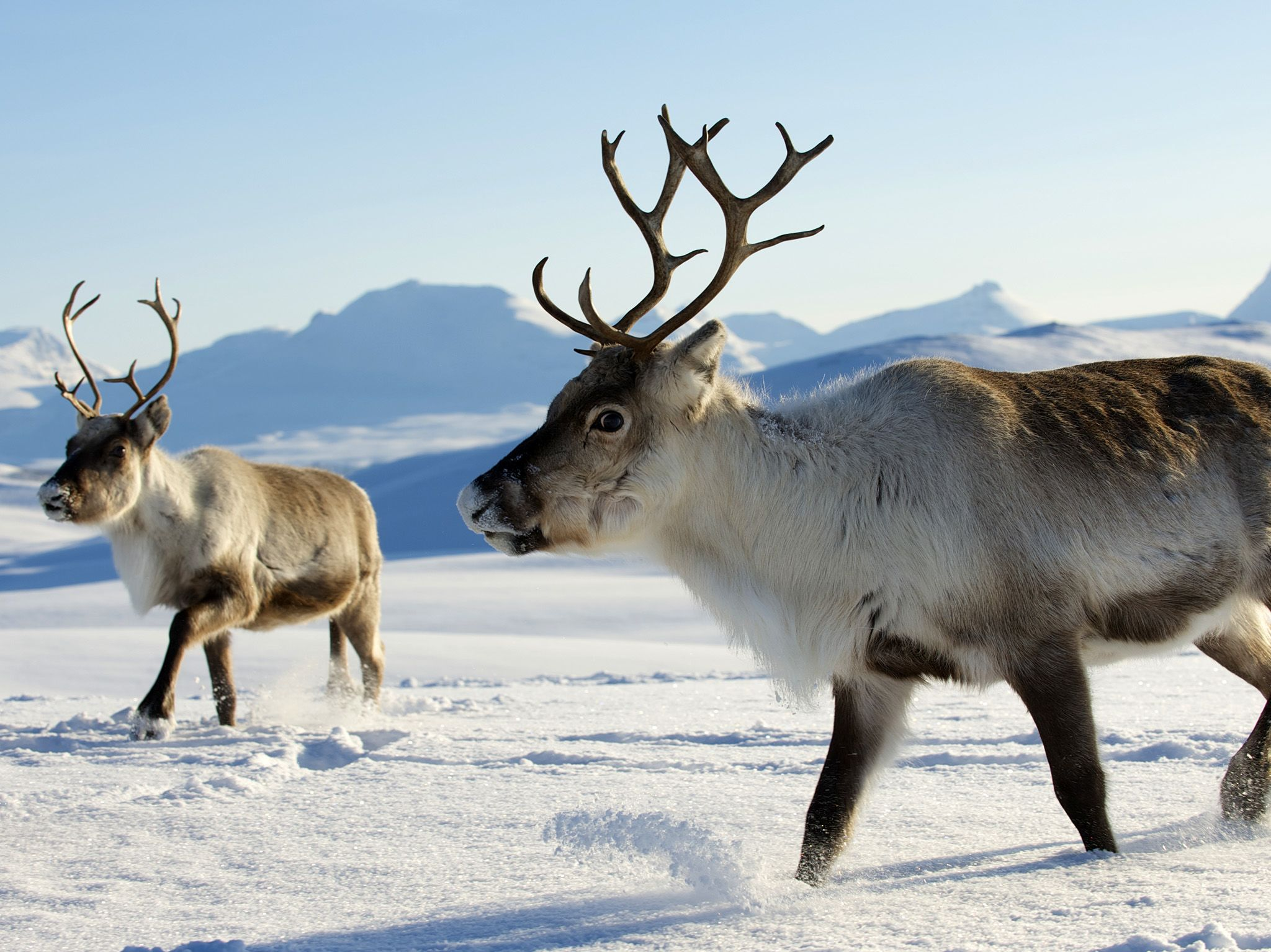 Siberia:  In winter, reindeer dig through the snow in search of carbohydrate rich lichens called... [Photo of the day - December 2017]