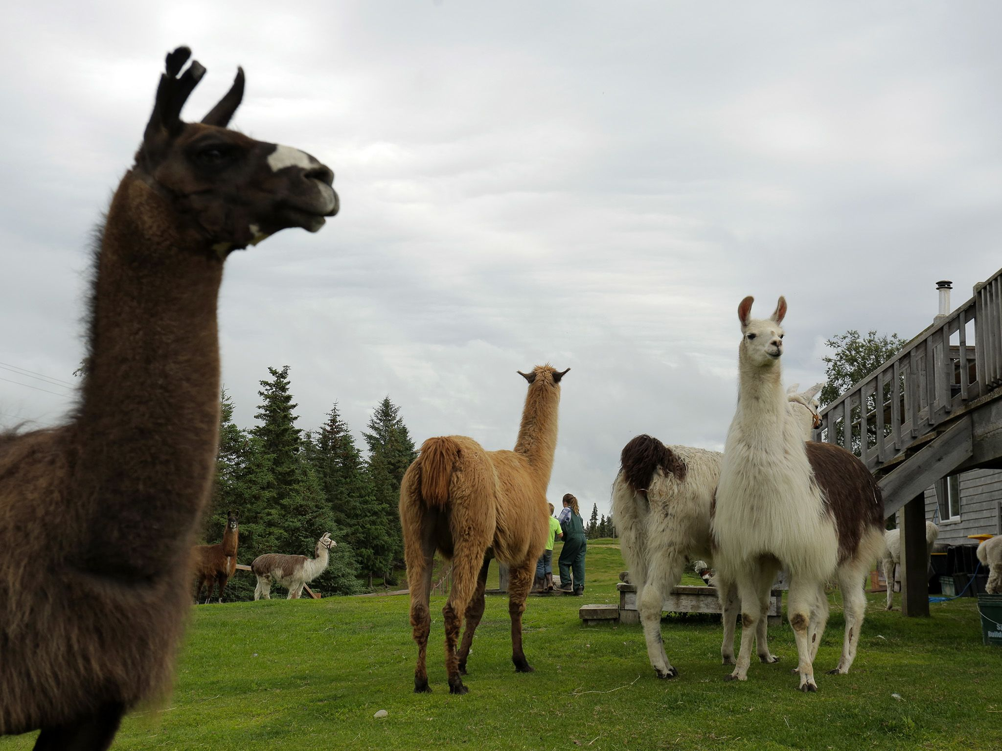 Canada, Homer, AK:  Alpacas at Arla Ranch. This image is from Dr. Oakley: Yukon Vet. [Photo of the day - December 2017]