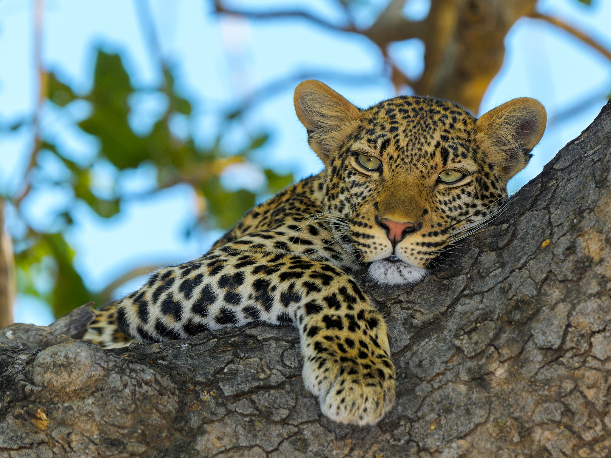 Ruaha National Park, Tanzania:  Young male leopard in tree. This image is from Lion Kingdom. [Photo of the day - January 2018]