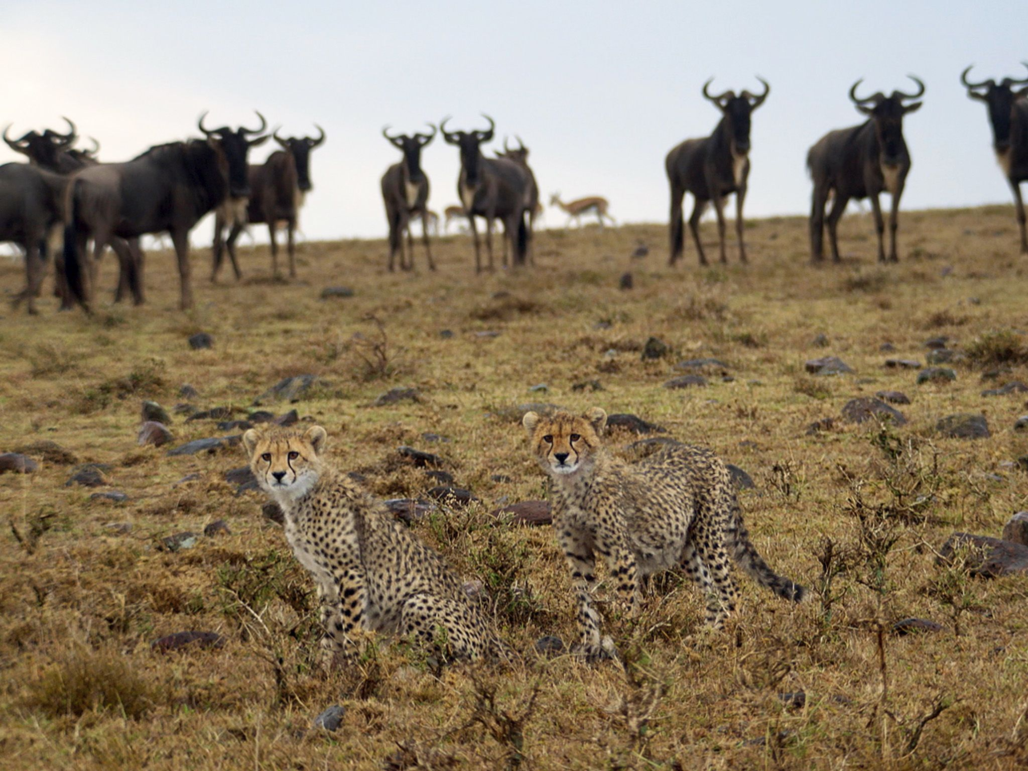 Naboisho, Kenya:  Cheetahs in foreground with wildebeest in background.  This image is from Man... [Foto del giorno - gennaio 2018]