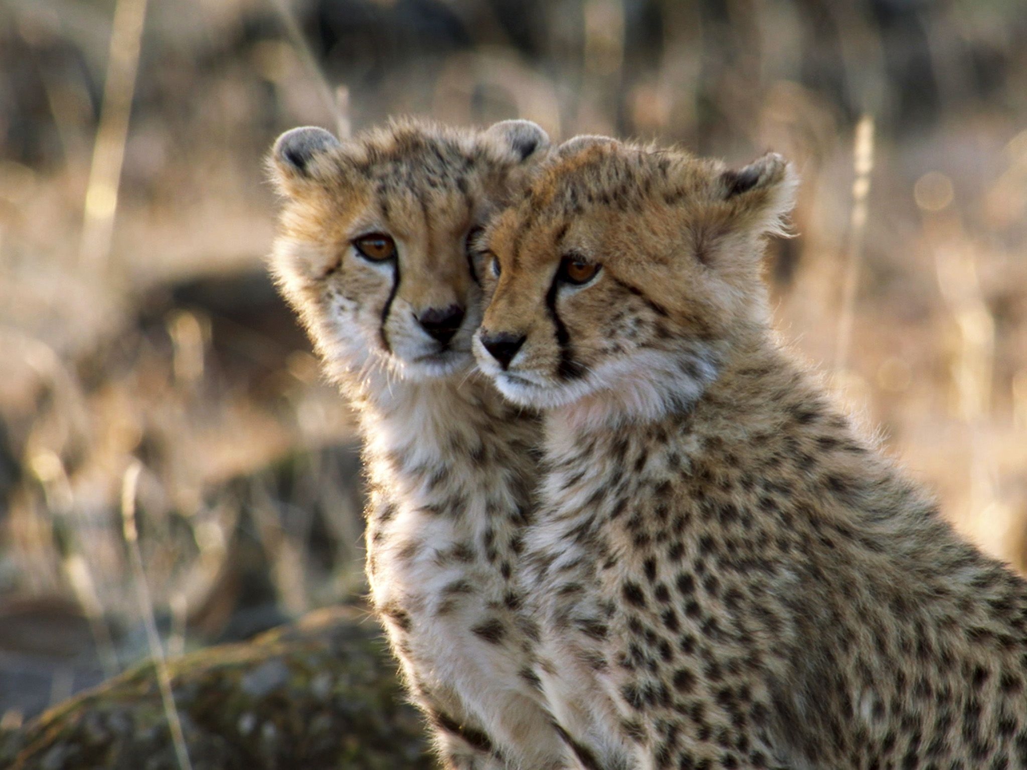 Naboisho, Kenya:  Two cheetah cubs. This image is from Man Among Cheetahs. [Foto del giorno - gennaio 2018]